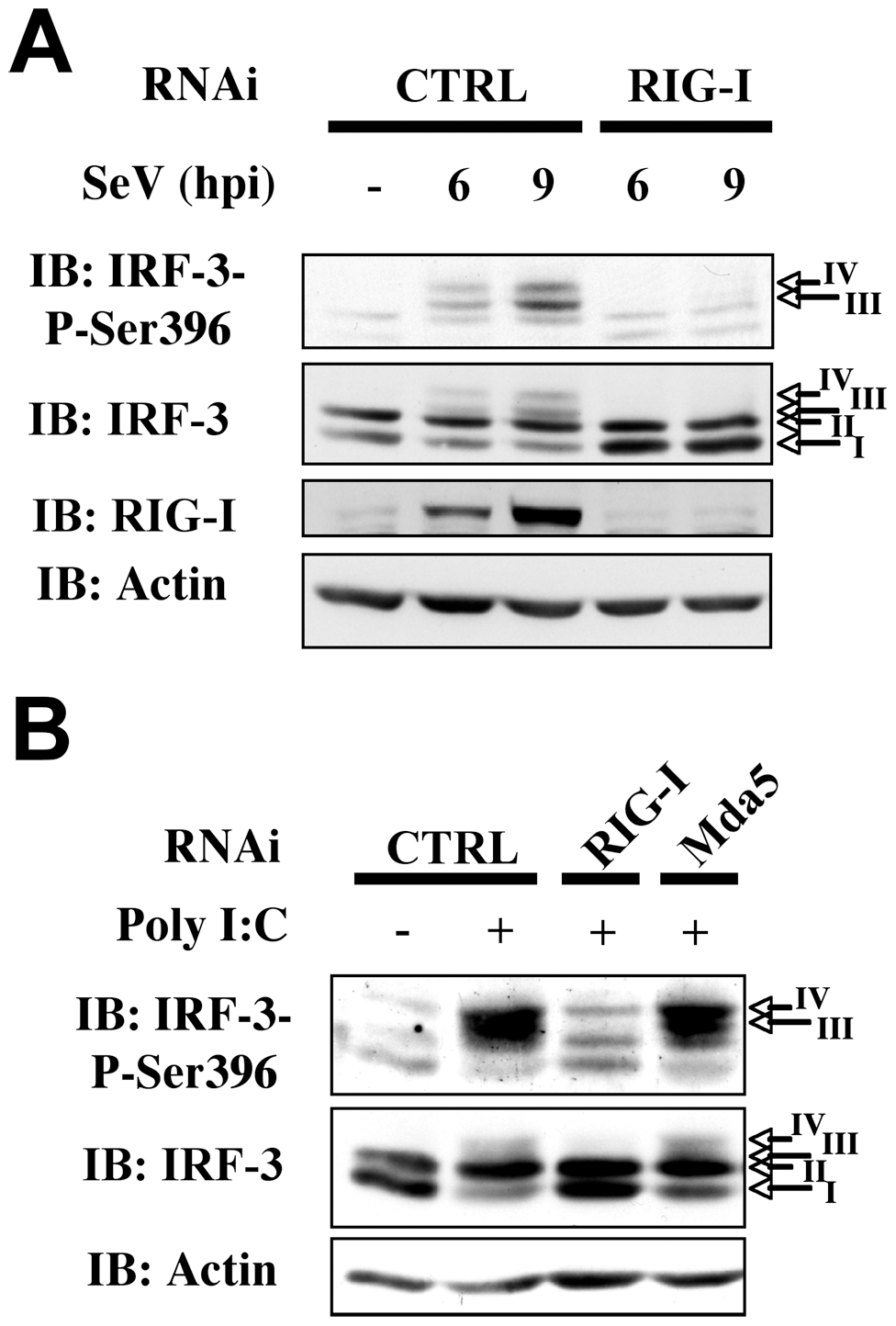 RIG-I is essential for SeV-induced and sheared poly I:C-induced IRF-3 activation.