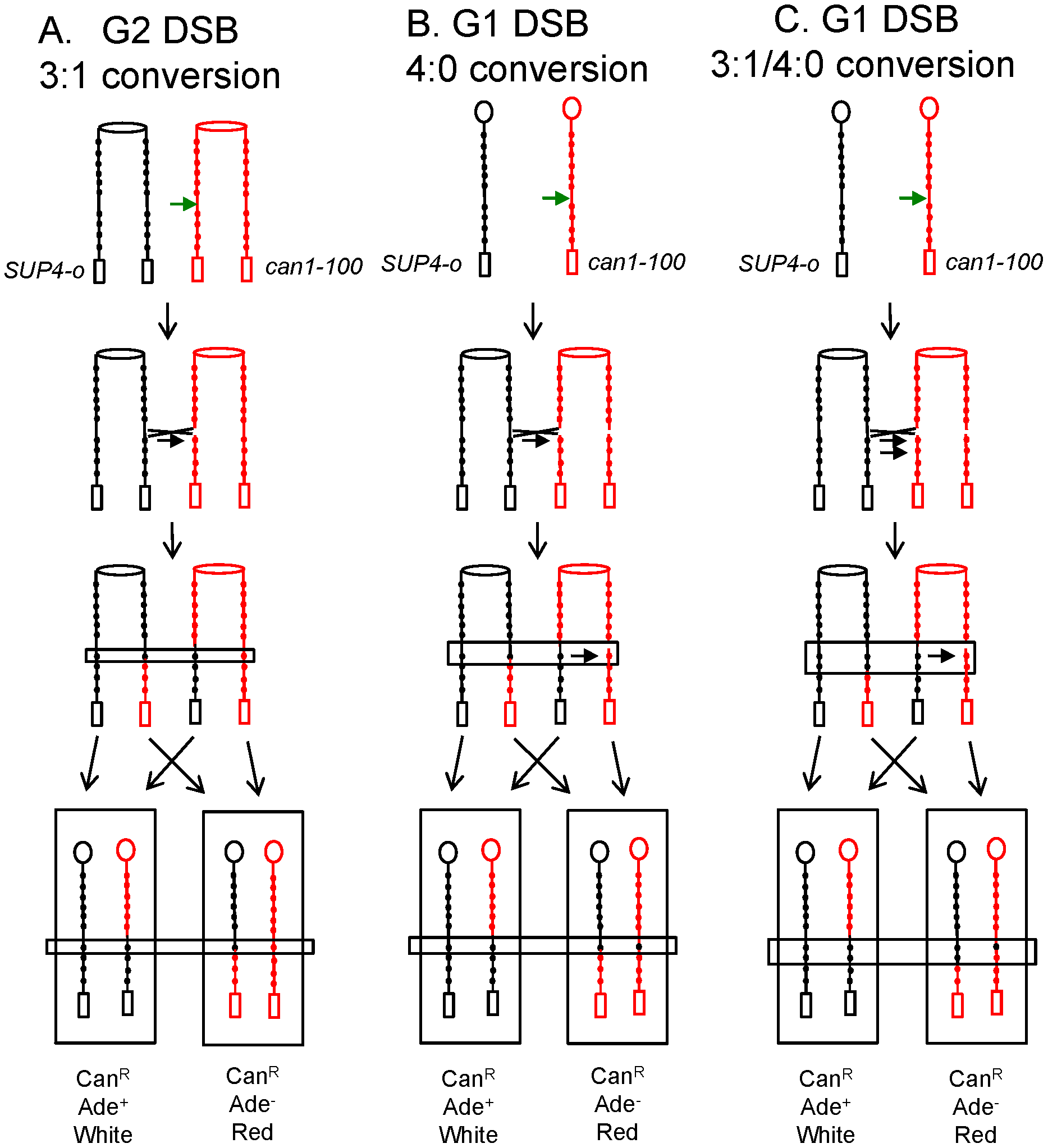 Gene conversion events associated with crossovers in G2 and G1.