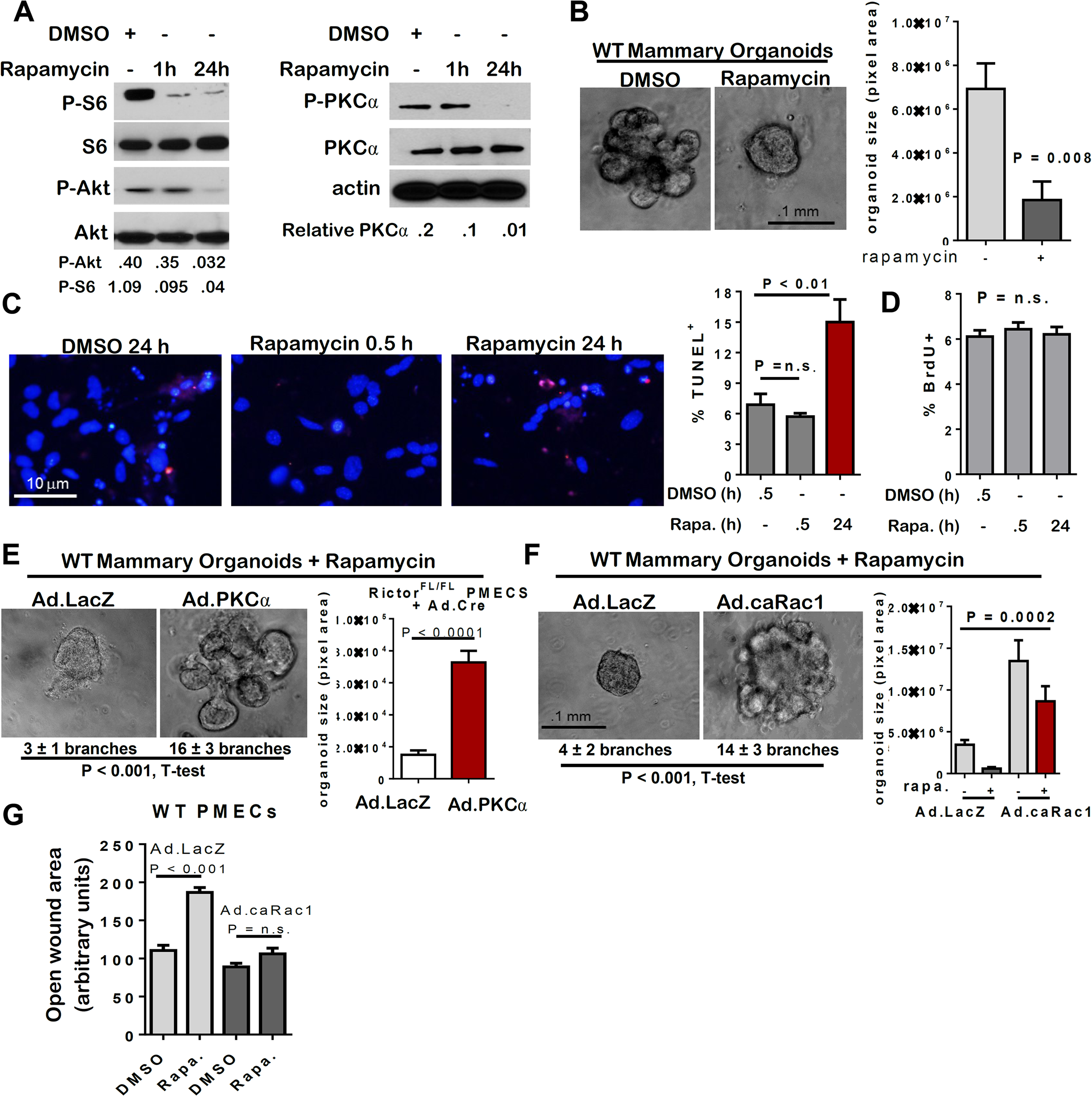 mTOR inhibition with rapamycin decreases MEC survival and branching.
