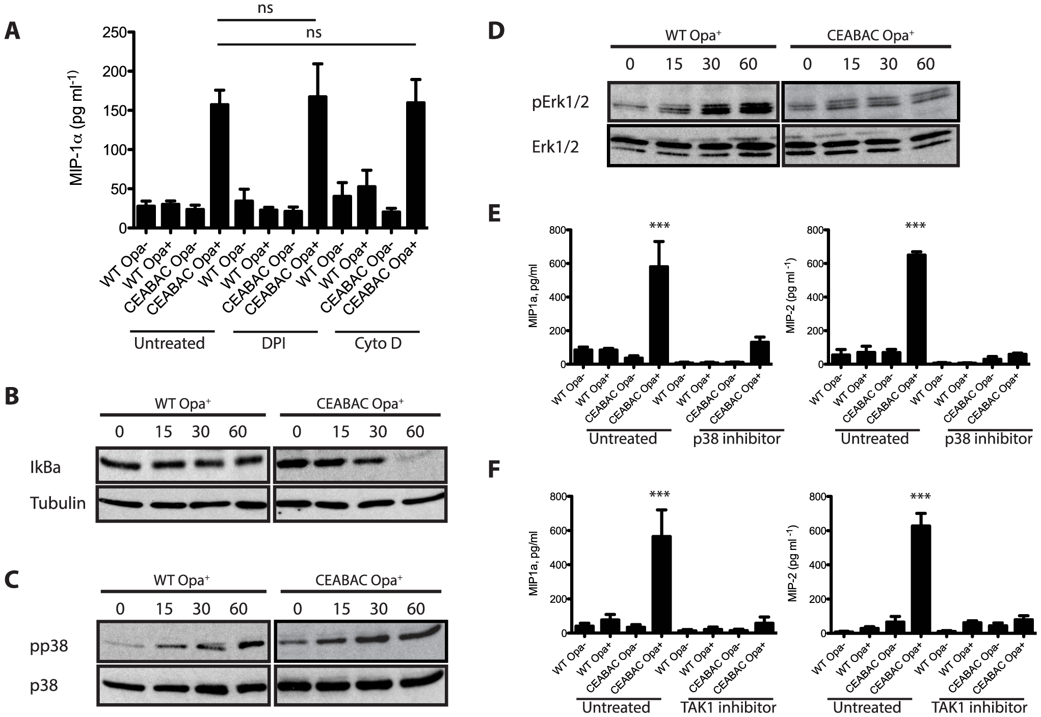 <i>N. gonorrhoeae</i> infection elicits an NF-κB and p38 MAPK signaling-dependent cytokine response in CEABAC neutrophils.