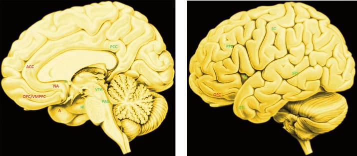 """Uzlové oblasti emočního mozku. Mapu je nutné chápat """"cum grano salis"""", protože vyznačené oblasti jsou aktivovány jak emoční, tak kognitivní zátěží. Striktní dichotomie emoce-kognice je totiž spíše filosofická tradice než neurovědecky doložená skutečnost. """"Jádro"""" emočního mozku jsou oblasti značené červeně, """"periferie"""" je vyznačena zeleně."""