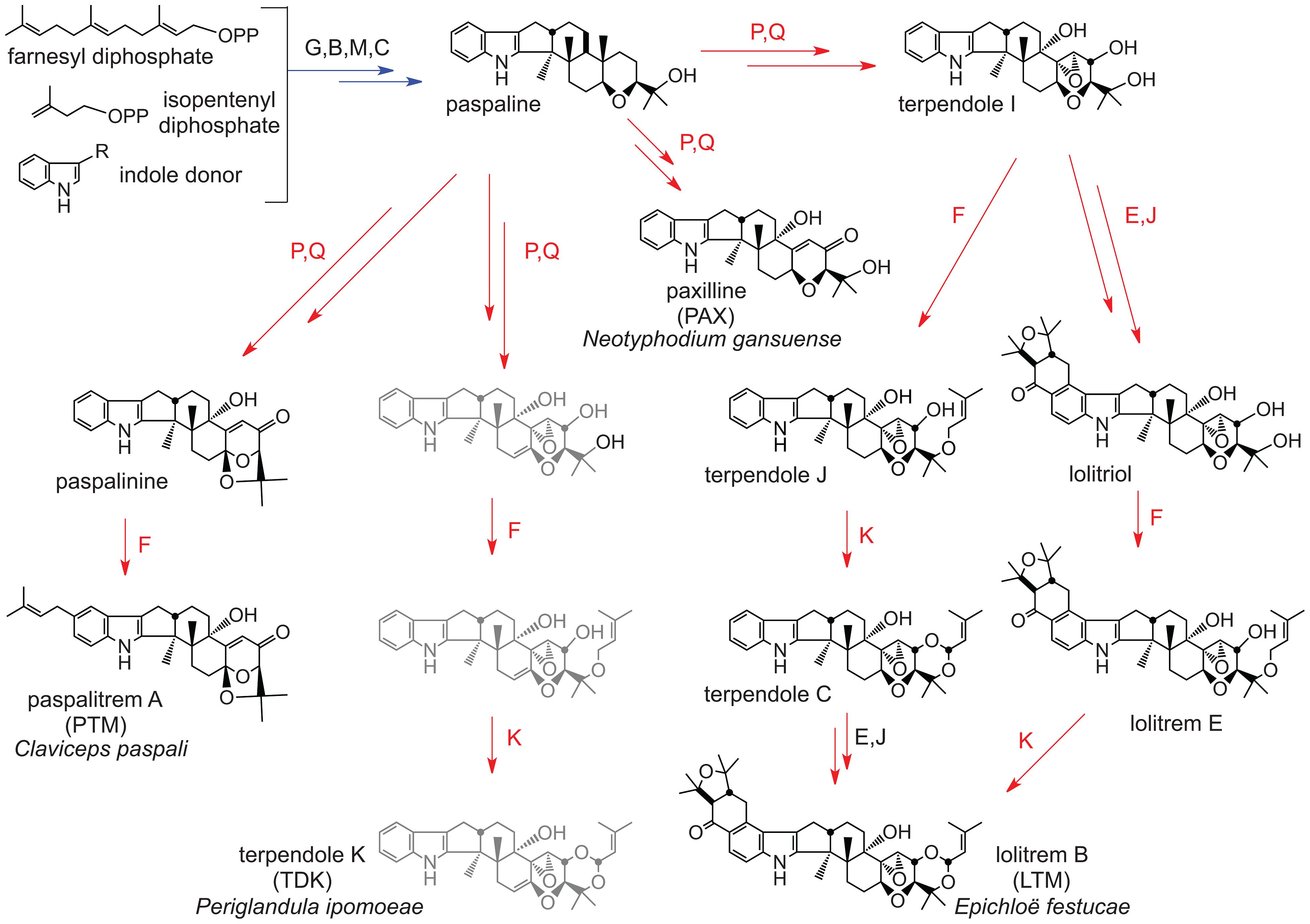 Summary of indole-diterpene biosynthesis pathway.