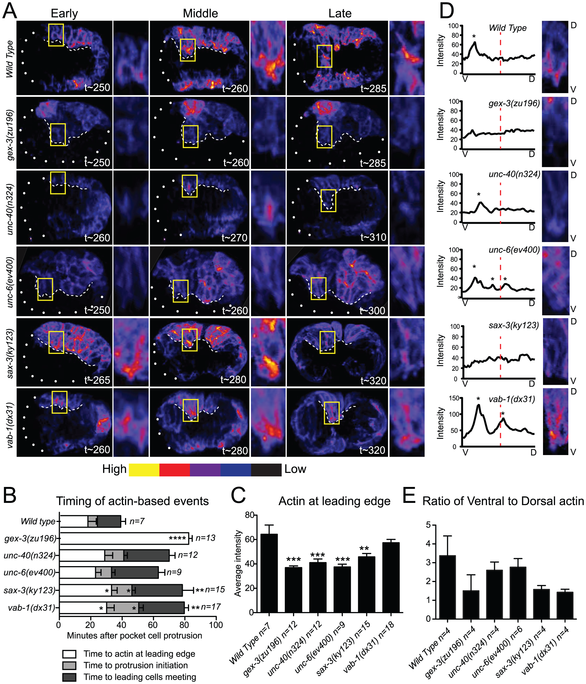 Guidance pathway proteins regulate F-actin organization and levels in migrating embryonic cells.