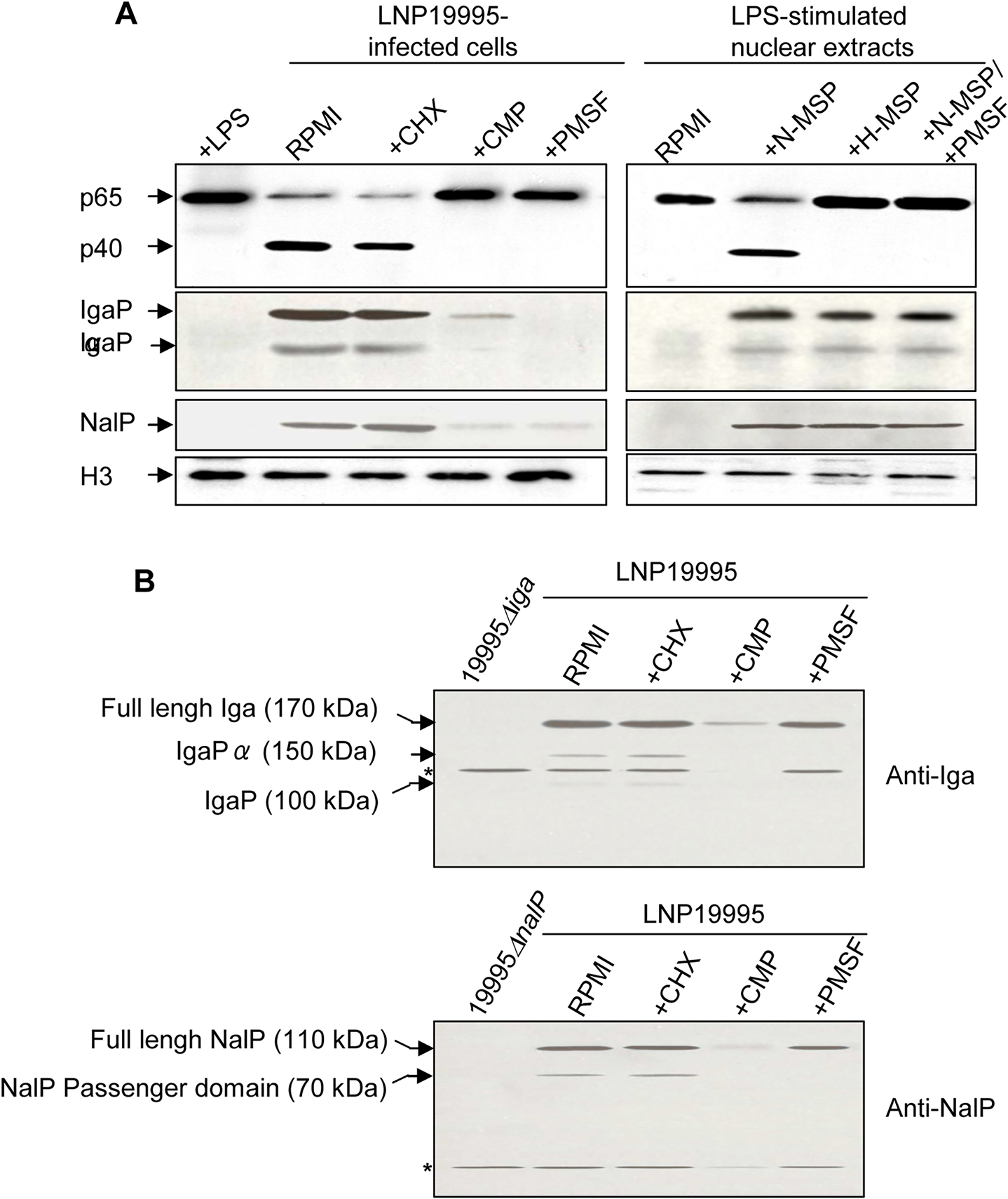 Nuclear cleavage of p65/RelA is carried out by a ST-11 meningococcal secreted serine protease.
