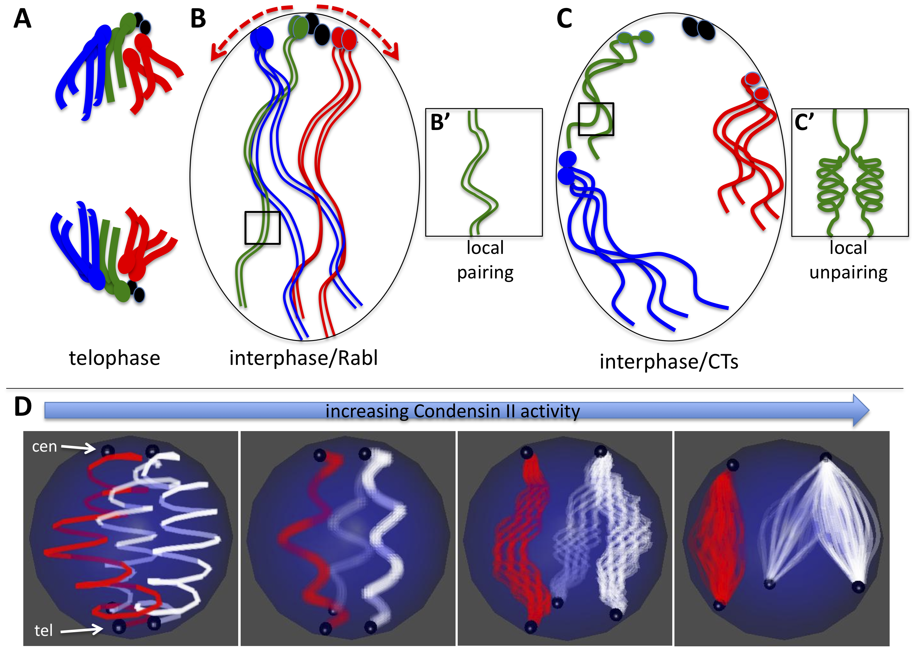 Model for Condensin II–mediated chromosome territory formation.
