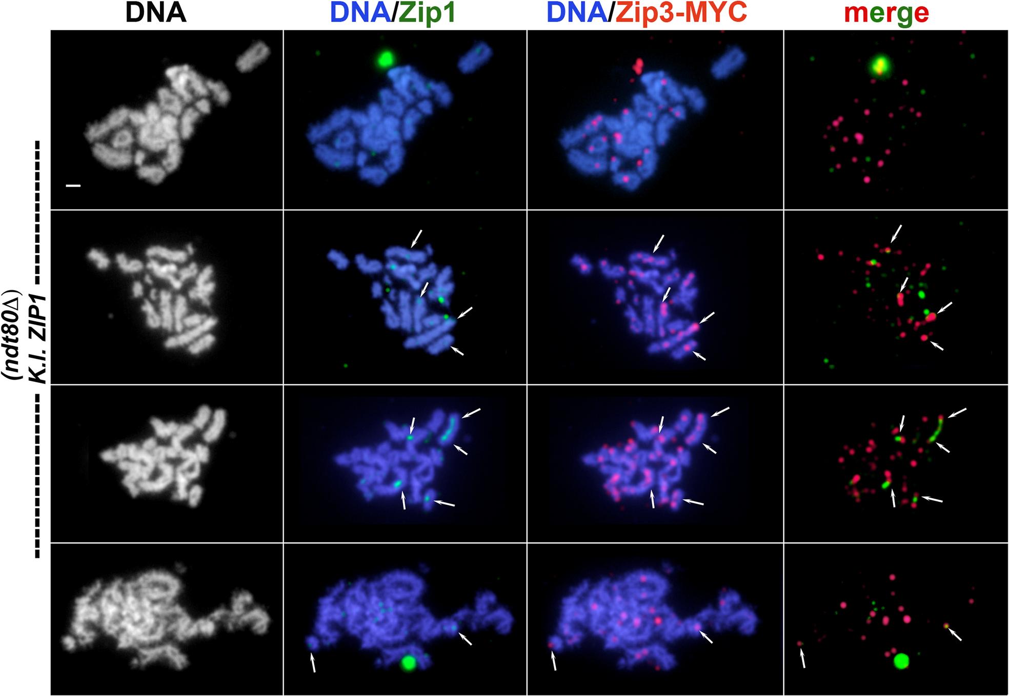 Relative distribution of Zip3-MYC and <i>K</i>. <i>l</i>. Zip1 on meiotic chromosomes in <i>K</i>. <i>l</i>. <i>ZIP1</i>-expressing cells.