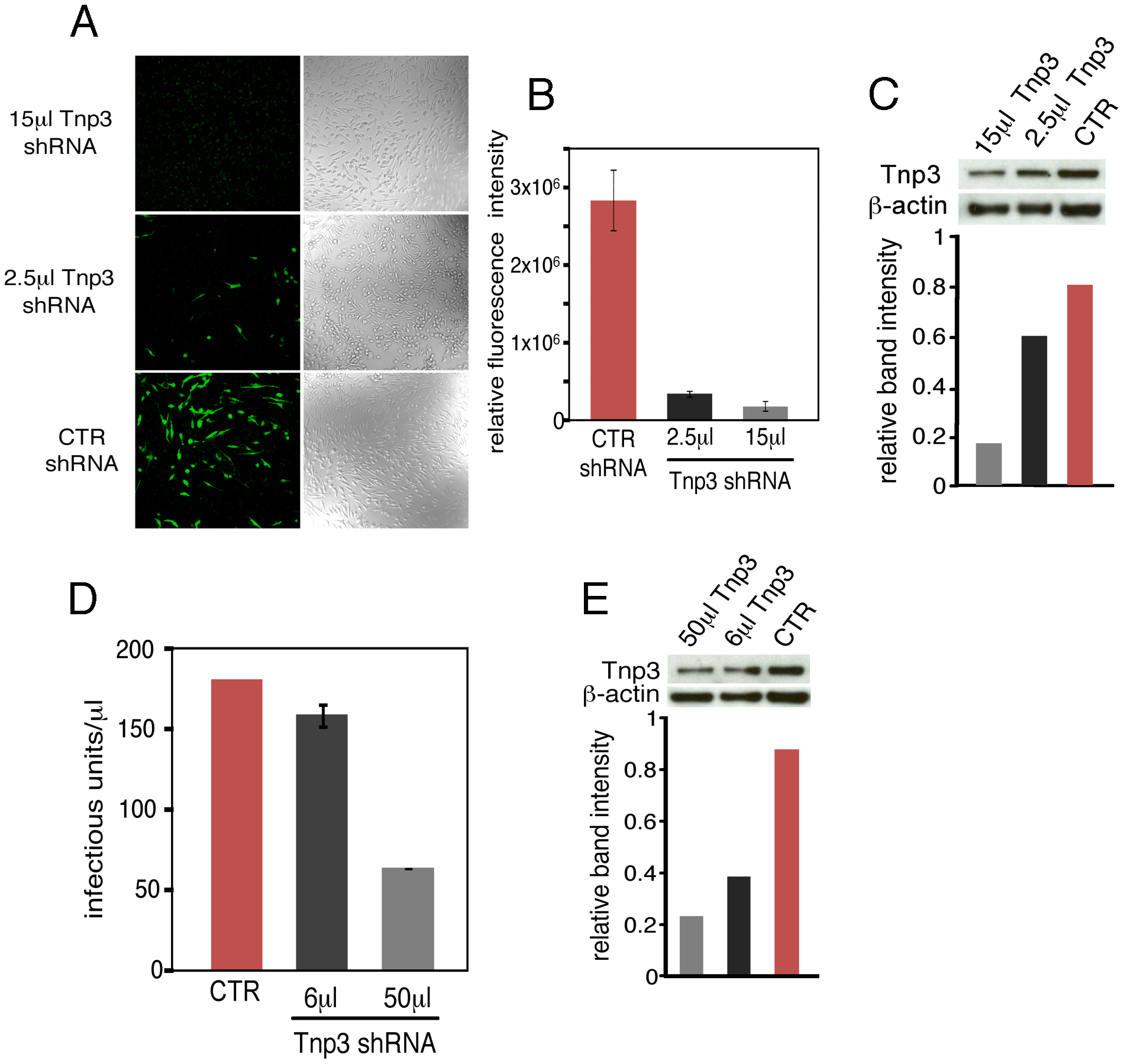 Tnp3 supports HIV-1 infection in human macrophages.