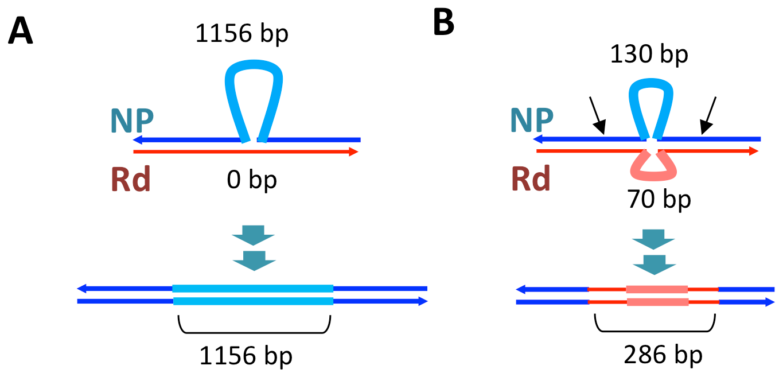 Transformation at structural variation.