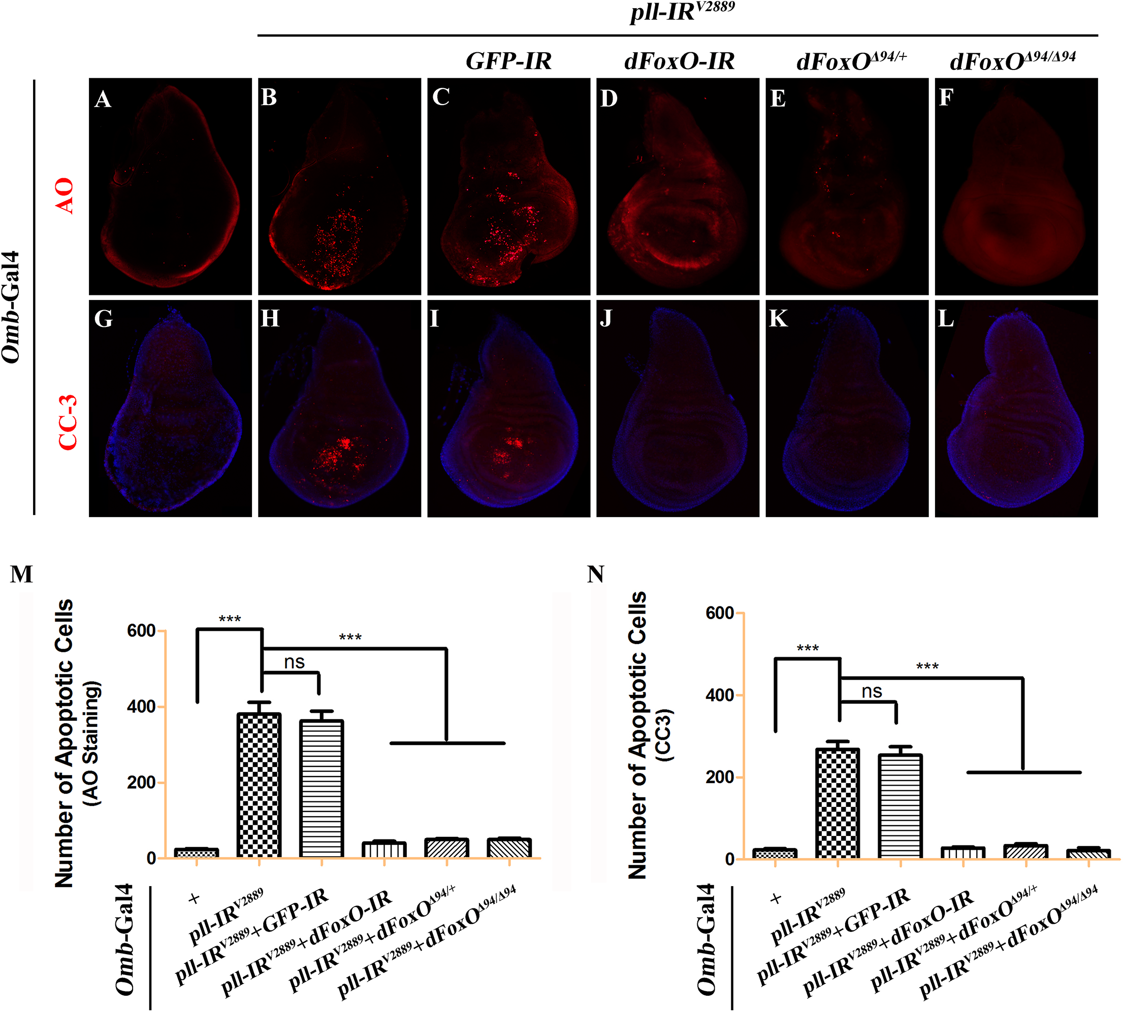 Loss-of-<i>pll</i> induces dFoxO-dependent cell death.