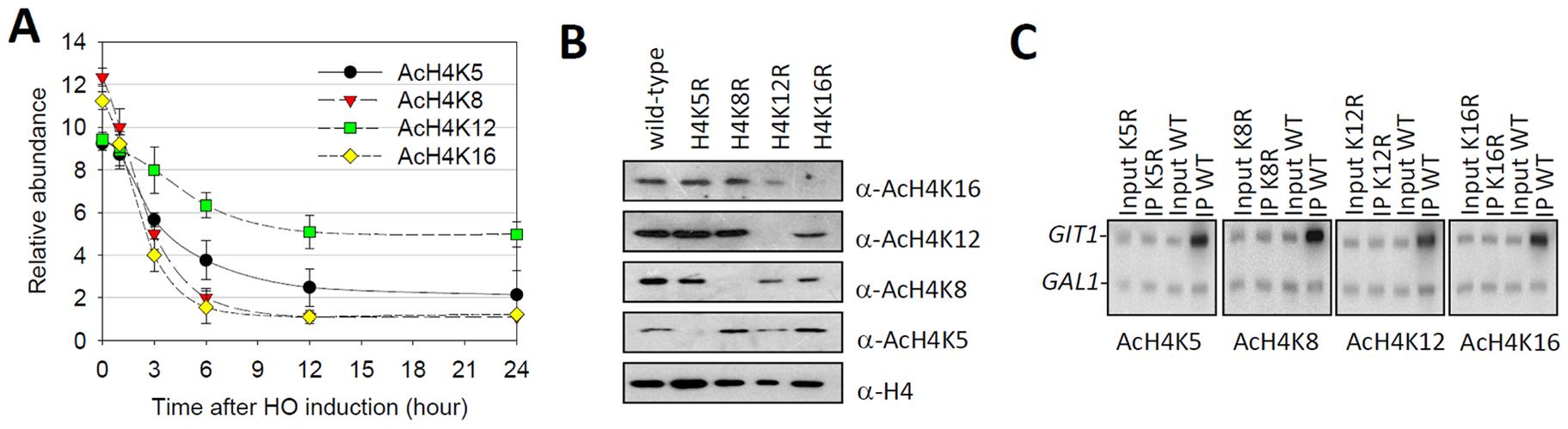 Histone H4K12 acetylation survives heterochromatin formation.