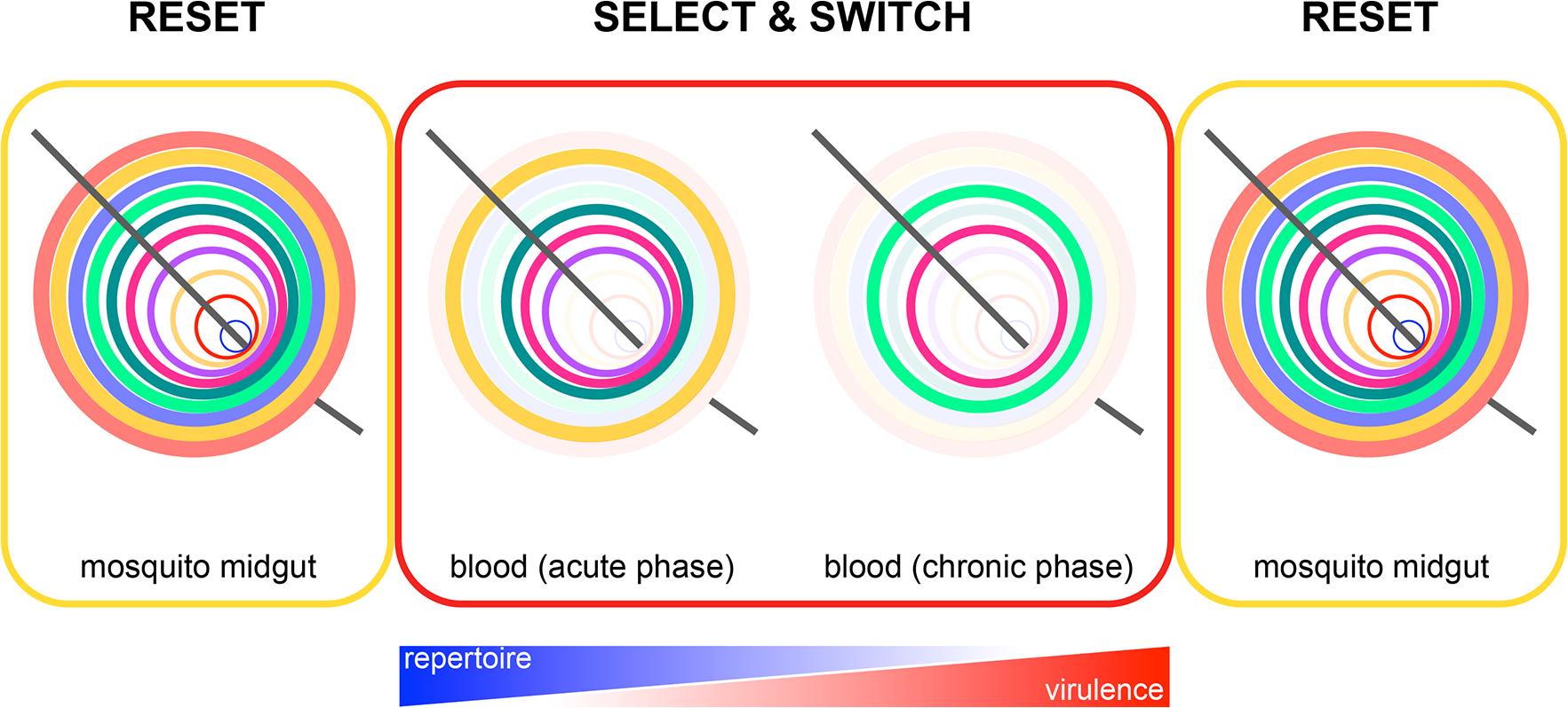 Epigenetic reprogramming of <i>Plasmodium</i> within the mosquito.