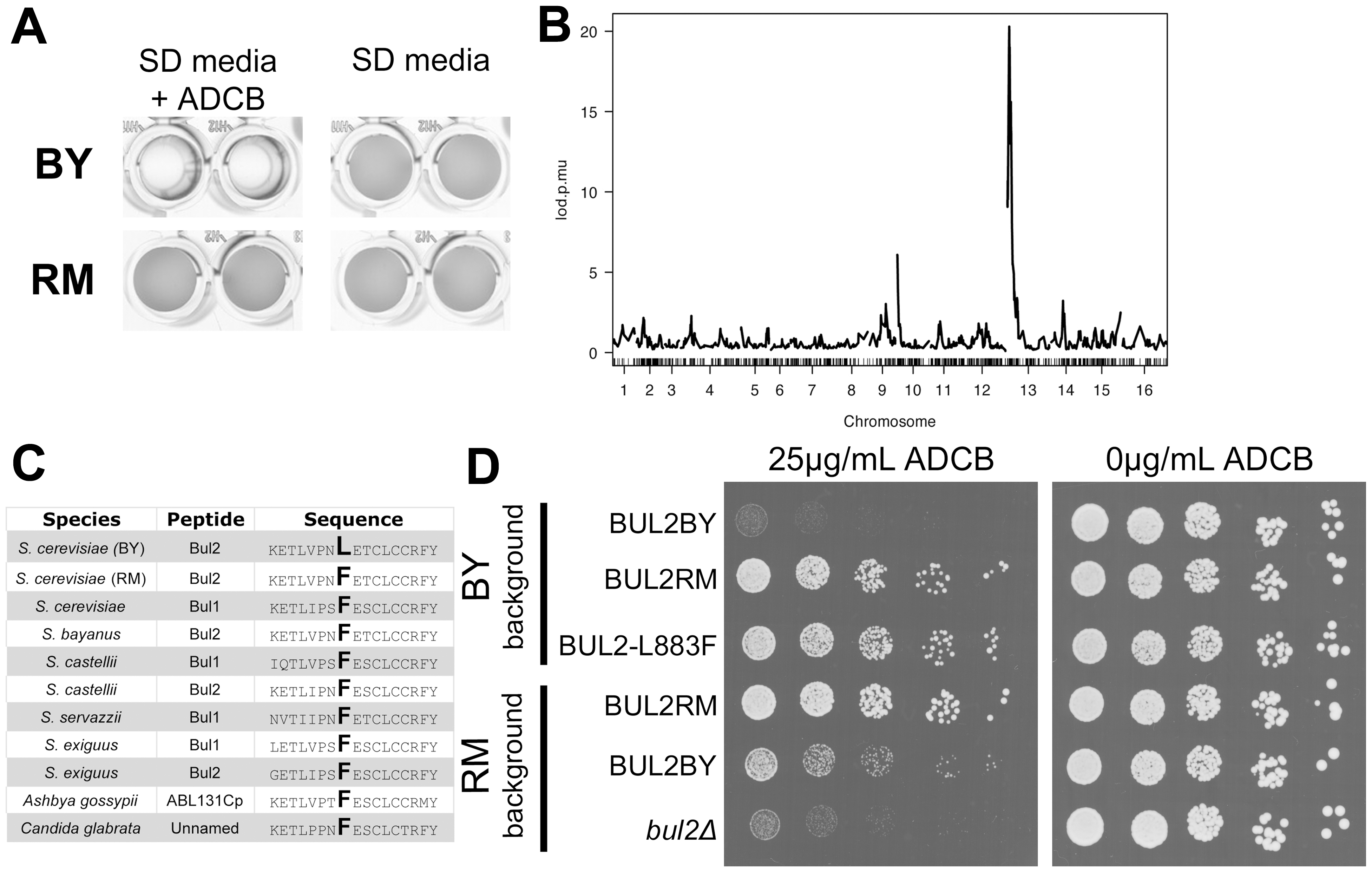 Chromosome 13 locus contains a loss of function polymorphism in BUL2.