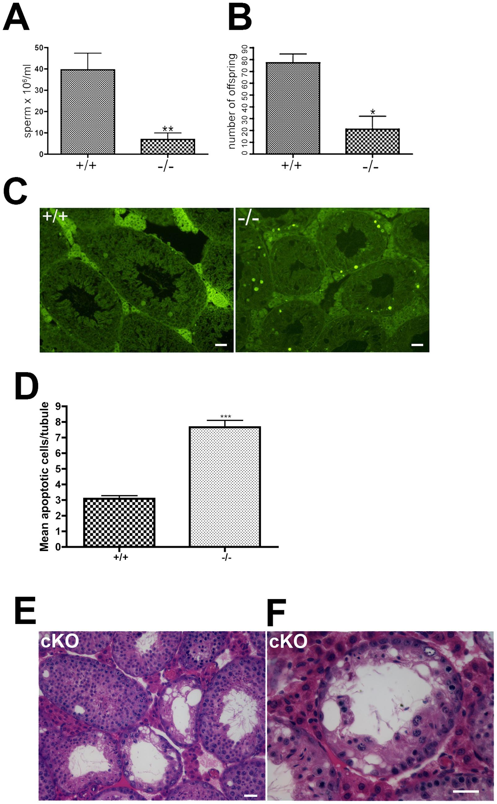 Oligospermia and decreased fertility in <i>Chtf18</i>-null mice.