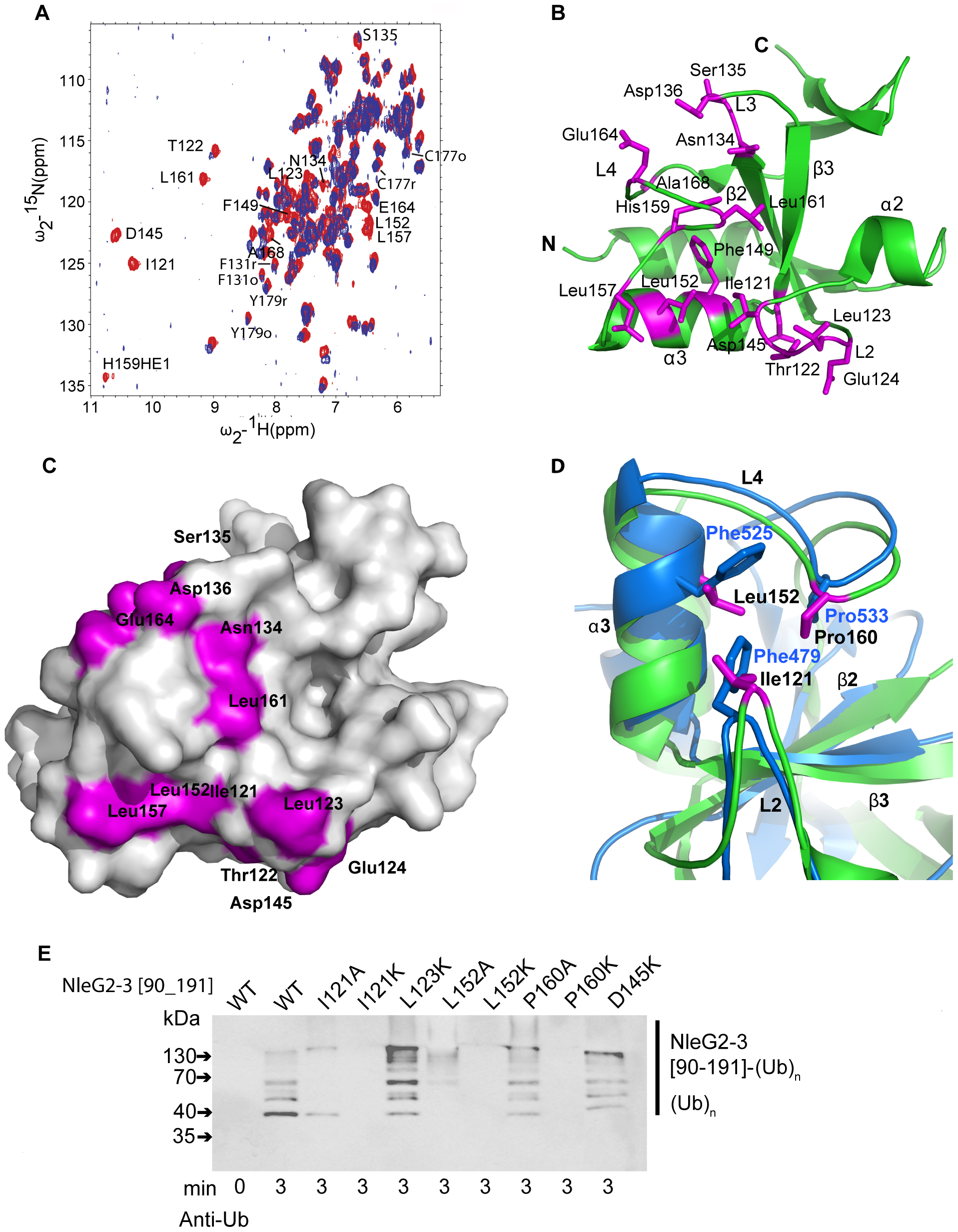 Detailed analysis of NleG interactions with UBE2D2.
