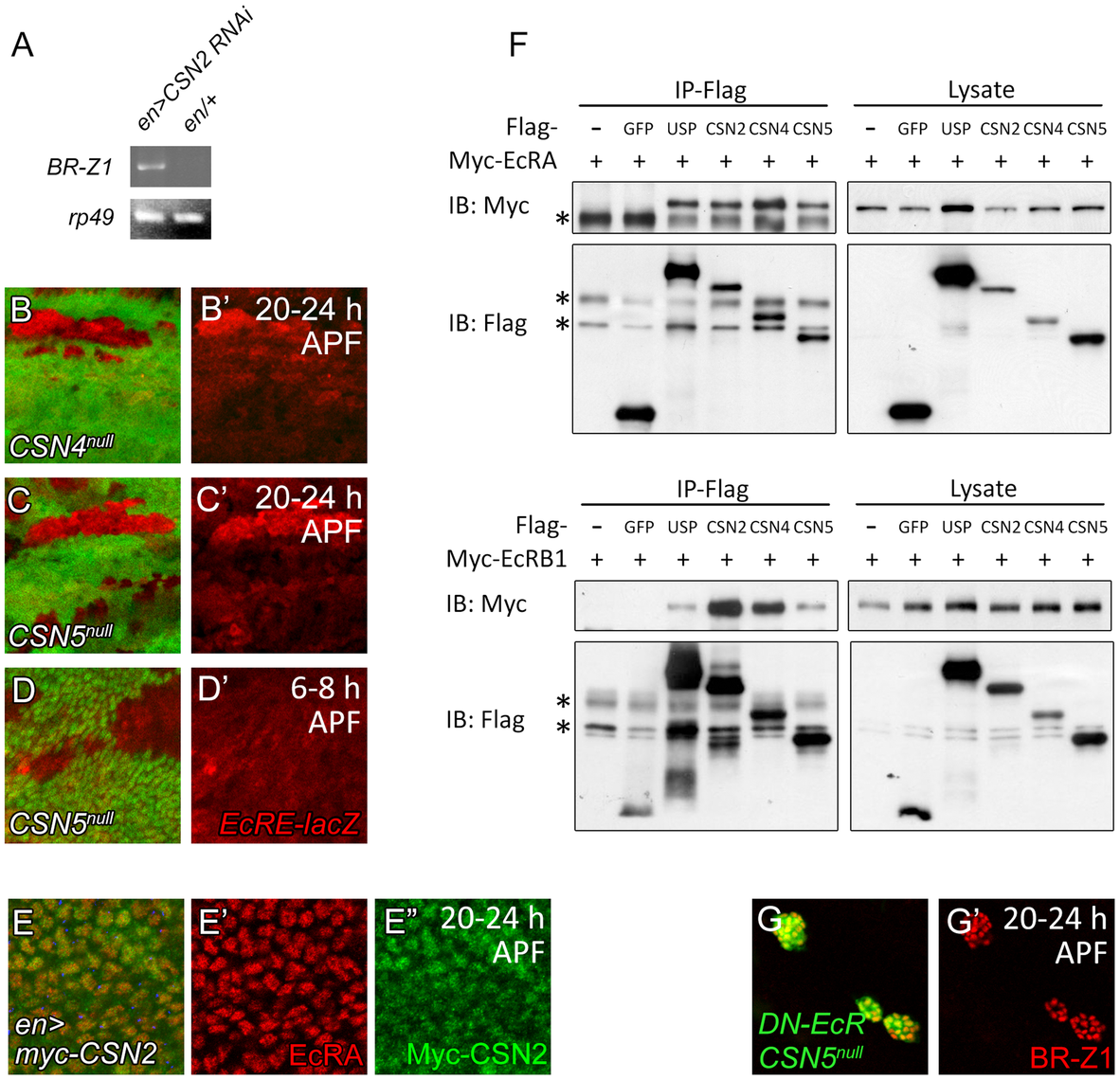 Association of CSN subunits and EcR in BR-Z1 repression.