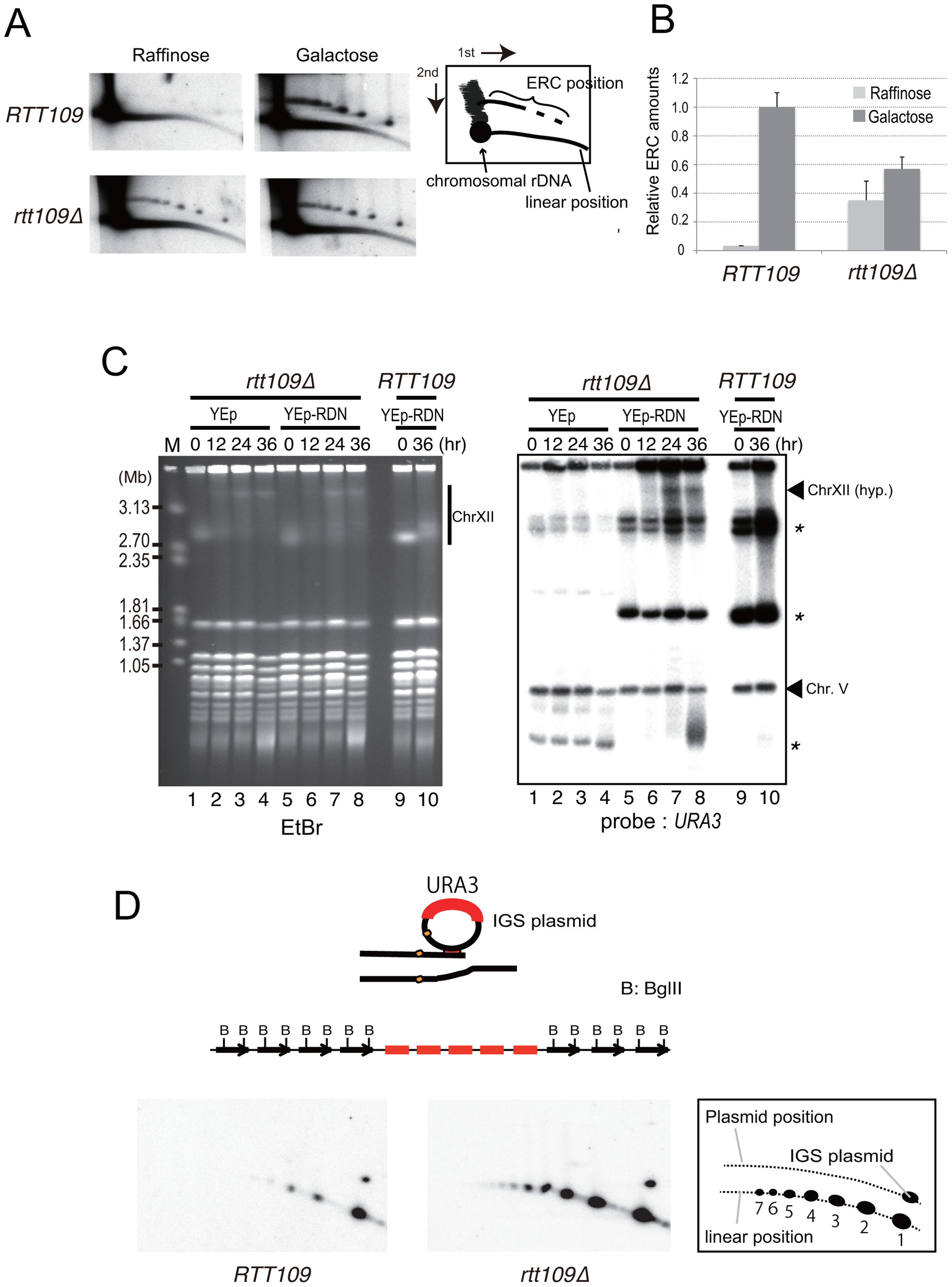 Less ERC is generated and multimeric ERC integrates into rDNA during hyper-amplification.