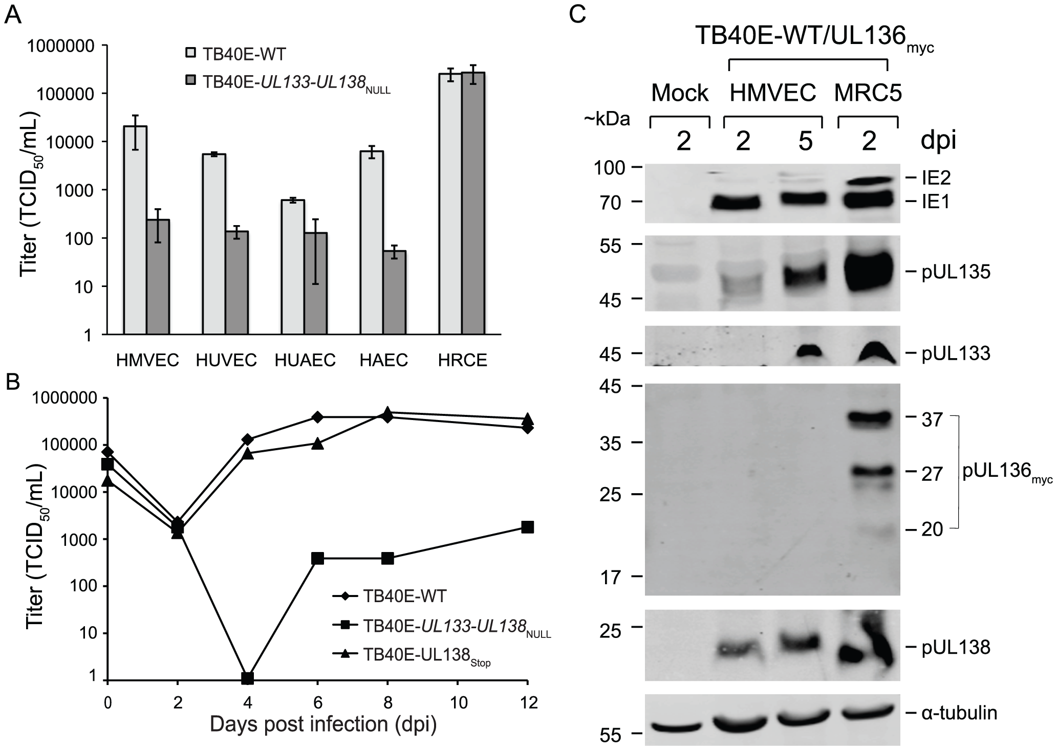 Expression and function of <i>UL133-UL138</i> locus in primary endothelial cells.