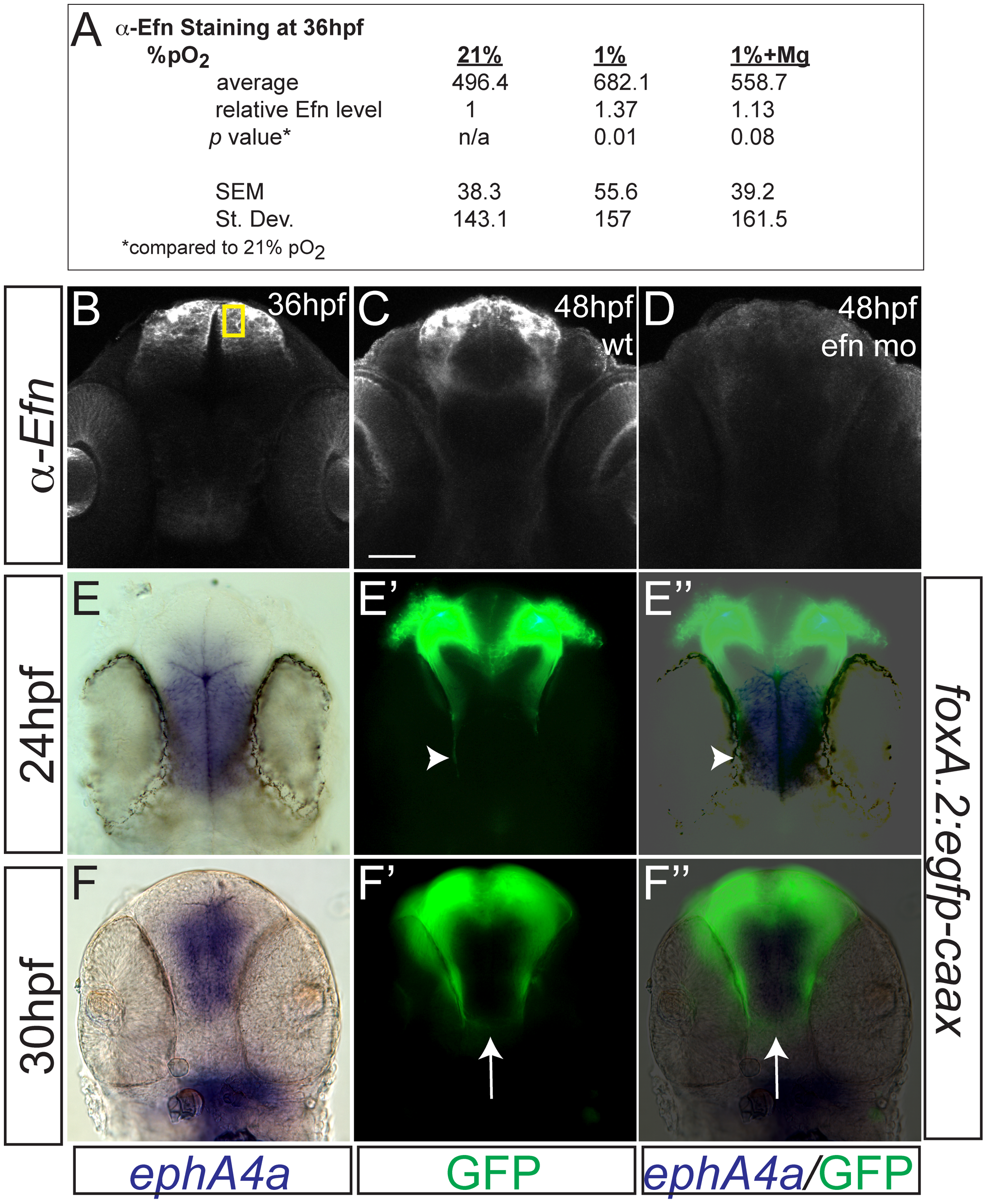 Hypoxia increased ephrinB2a expression in a pattern complementary to its receptor <i>ephA4a</i>.