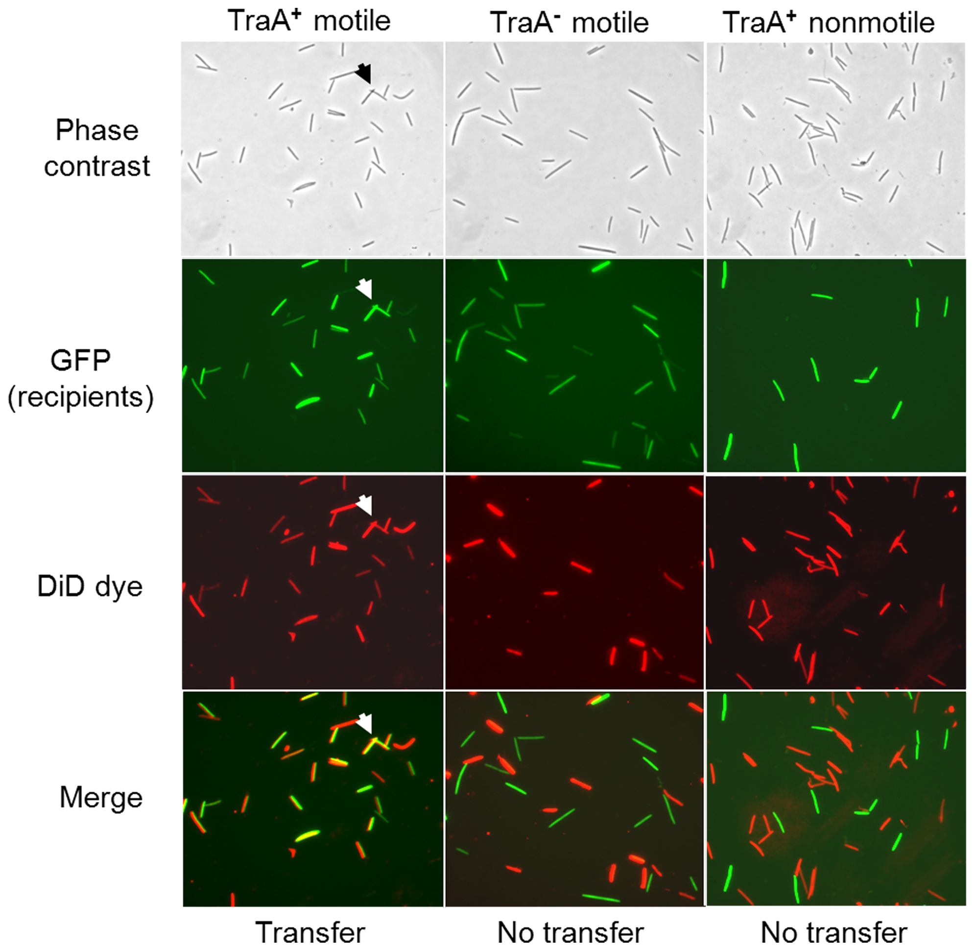 Lipophilic fluorescent dye (DiD) transfer depends on TraA and cell motility.