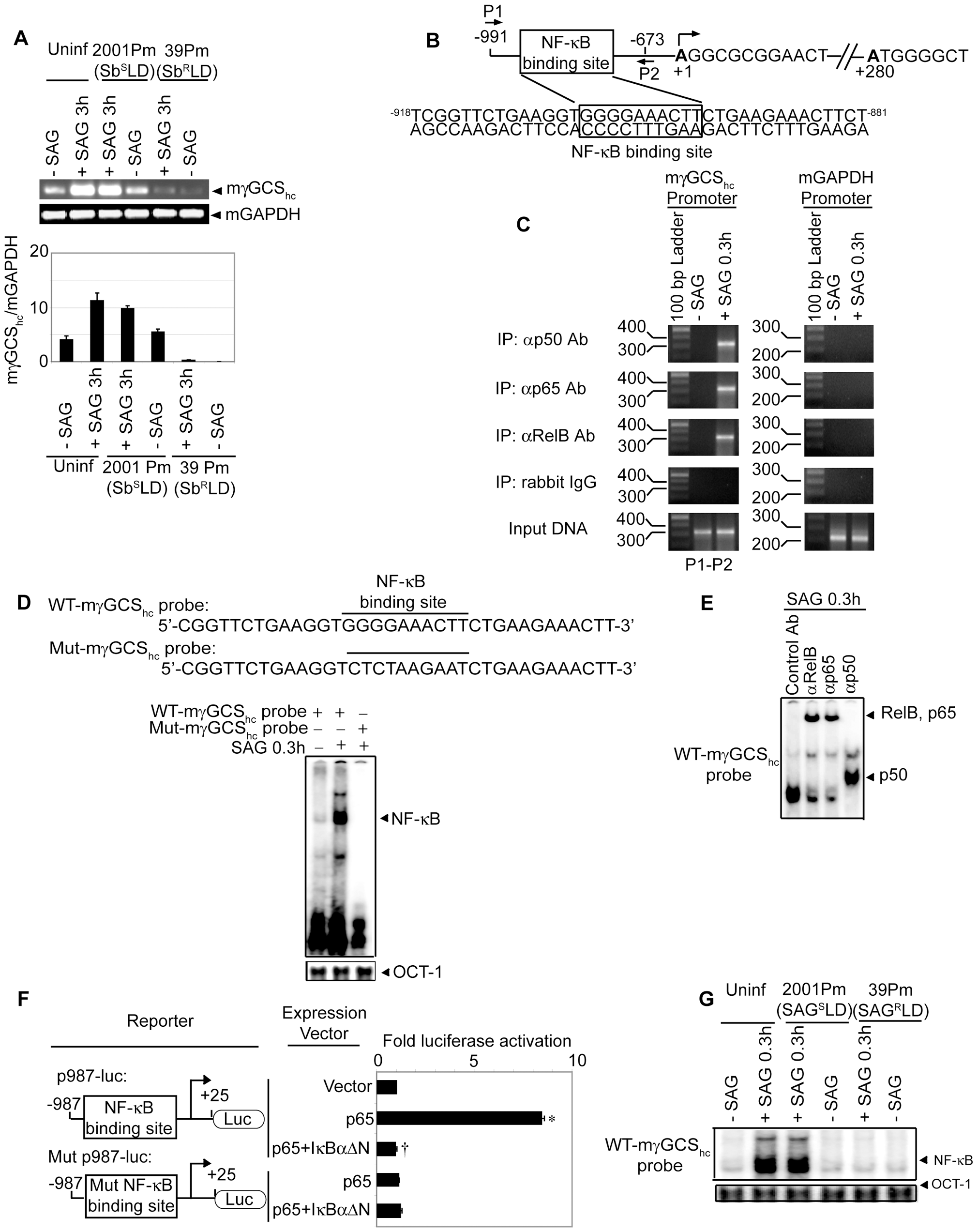 Suppression of SAG-induced mγGCS<sub>hc</sub> expression by Sb<sup>R</sup>LD is NF-κB-dependent.