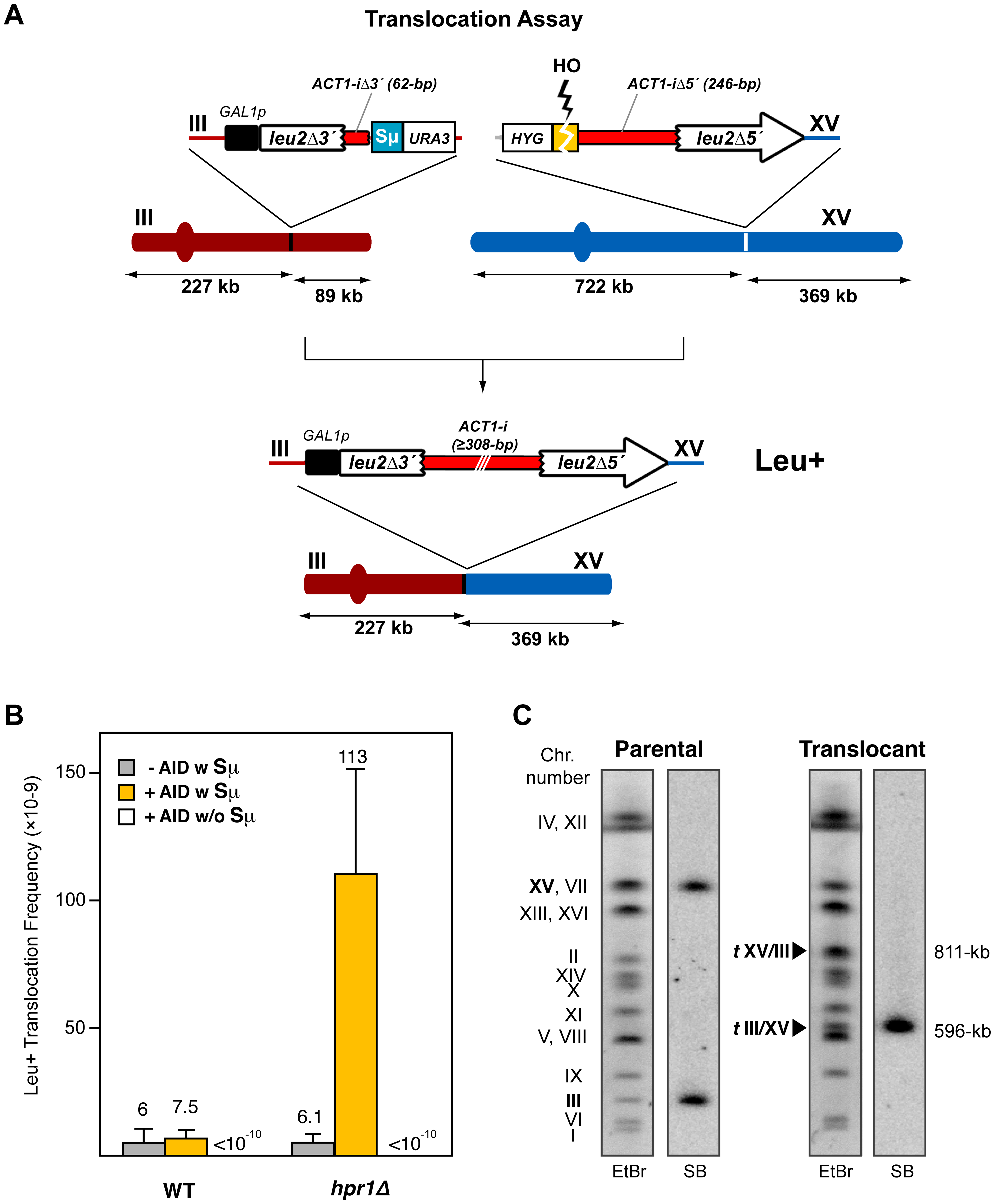 Intron-based assay for chromosomal translocations in yeast.