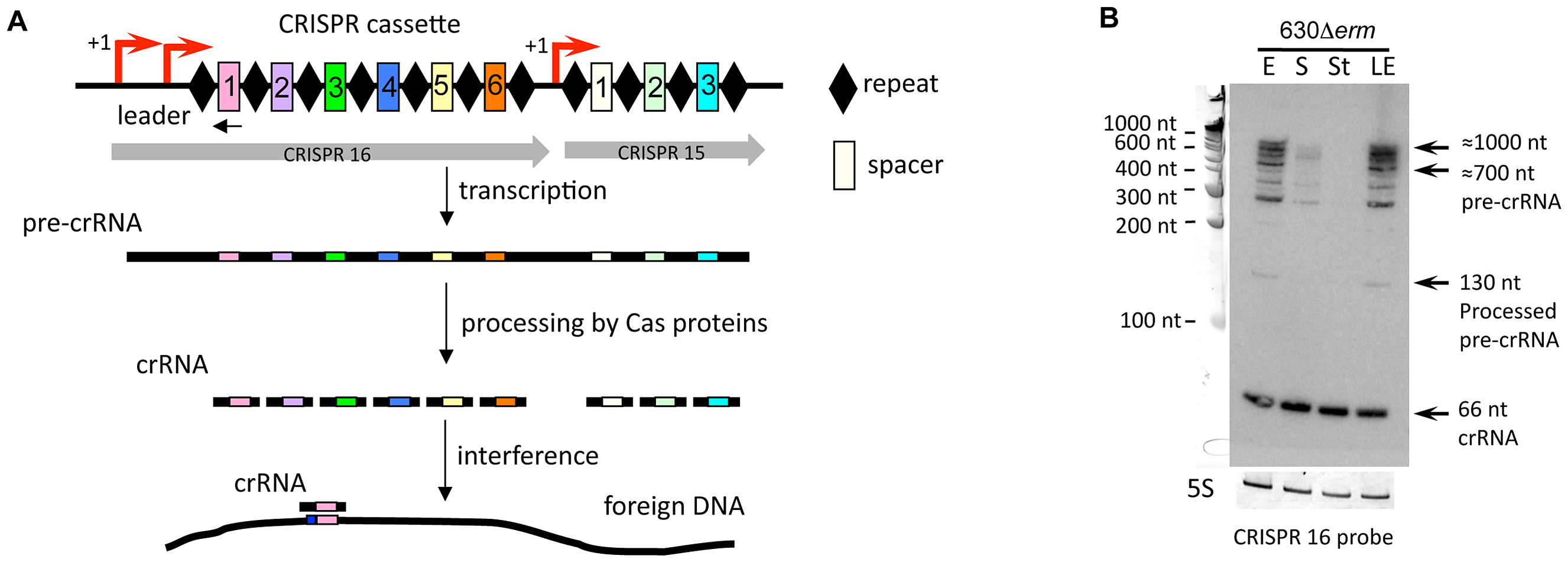 Expression of CRISPR 16 cassette.