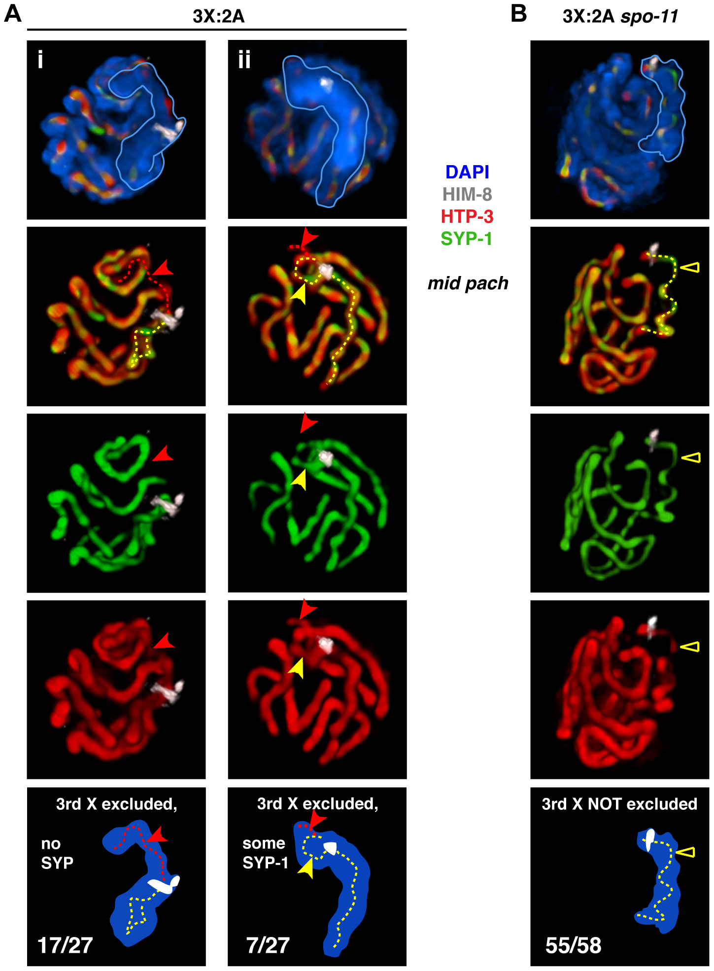 Inability to initiate recombination during triplo-X meiosis impairs establishment of exclusive, pairwise interactions.