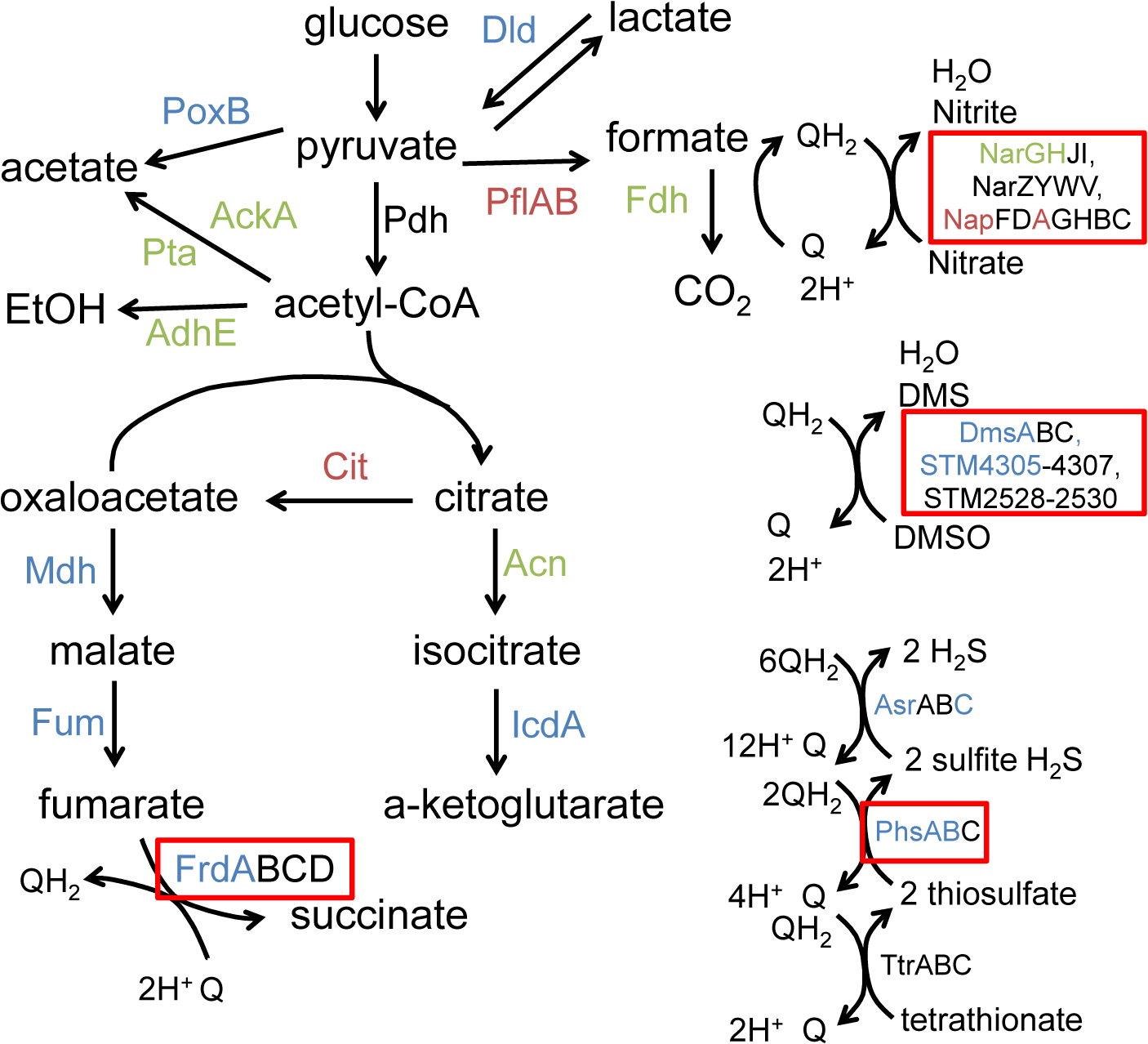 Anaerobic carbon metabolism is severely disrupted in msDNA-deficient mutants.