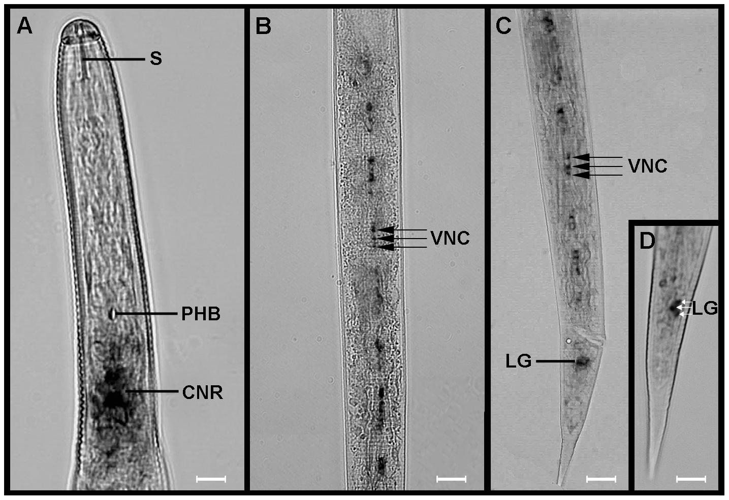 <i>Globodera pallida flp</i>-32 (<i>Gp-flp</i>-32) is expressed in the brain and ventral nerve cords of pre-parasitic juveniles (J2s).