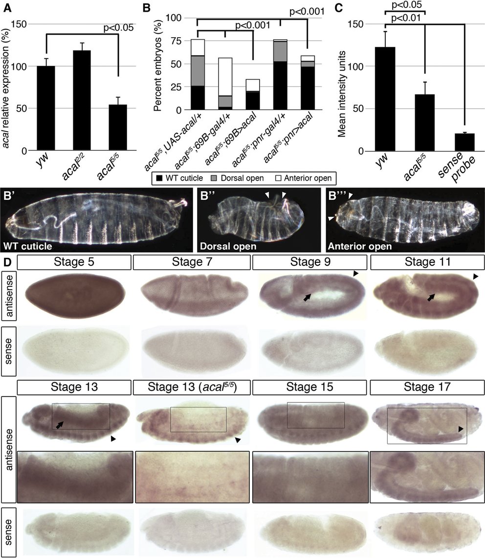 <i>acal</i> expression is required in the lateral epidermis during DC.