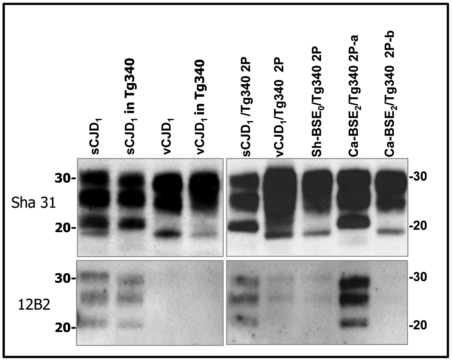 Western blots analysis of PrP<sup>res</sup> in the brains of tg340 mice infected with human, bovine and ovine isolates.