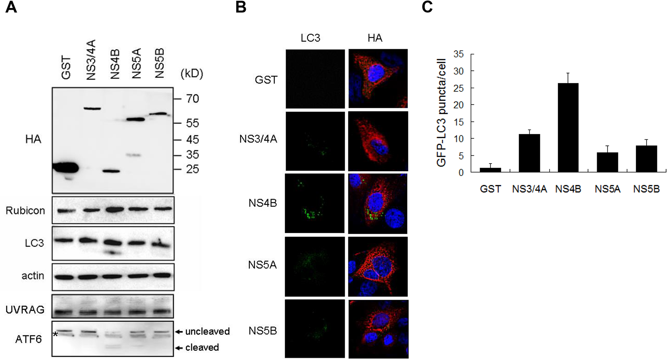 Effects of HCV nonstructural proteins on the induction of Rubicon and autophagosomes.
