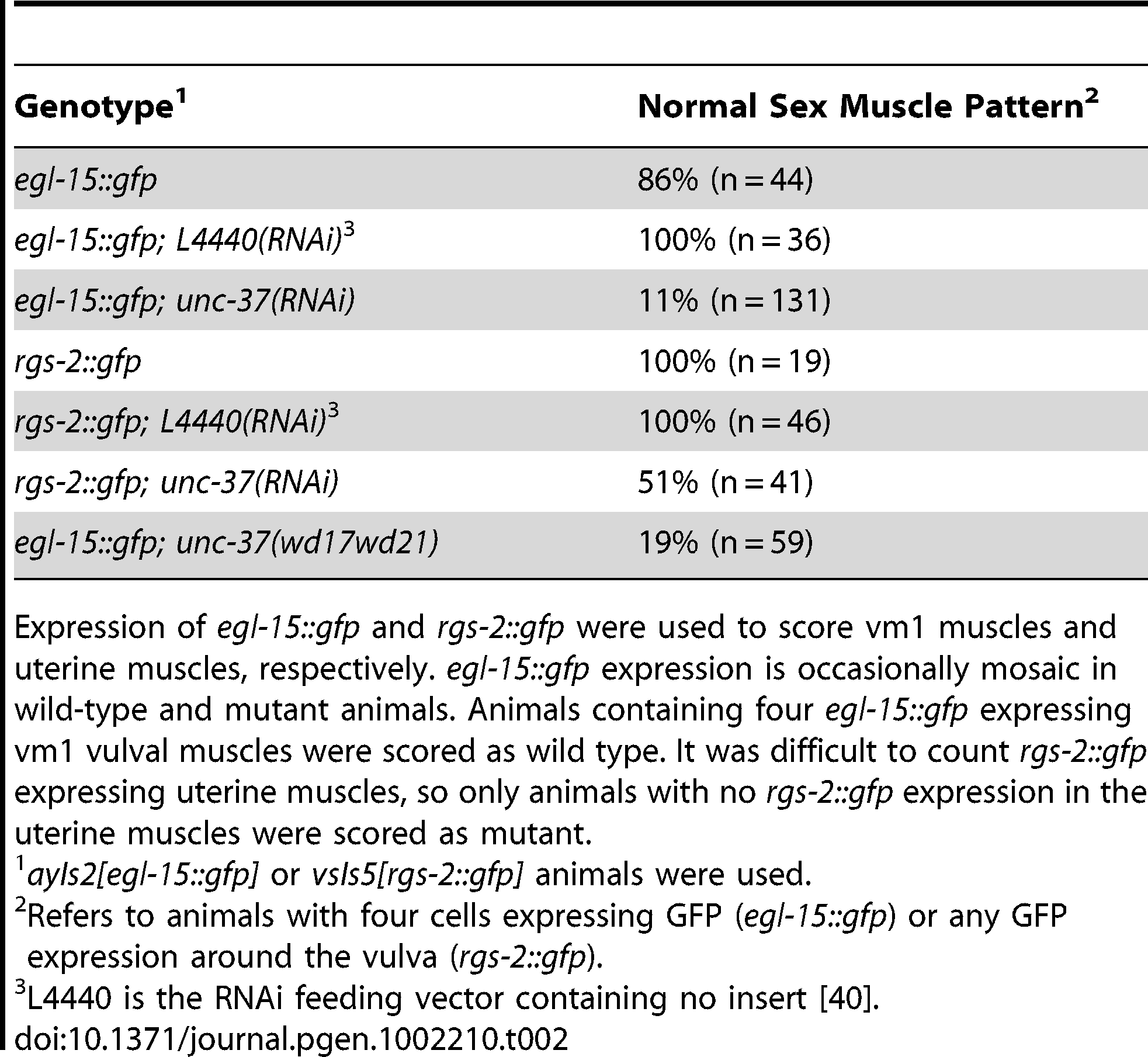 Vulval and uterine muscle pattern in <i>unc-37(RNAi)</i> animals.