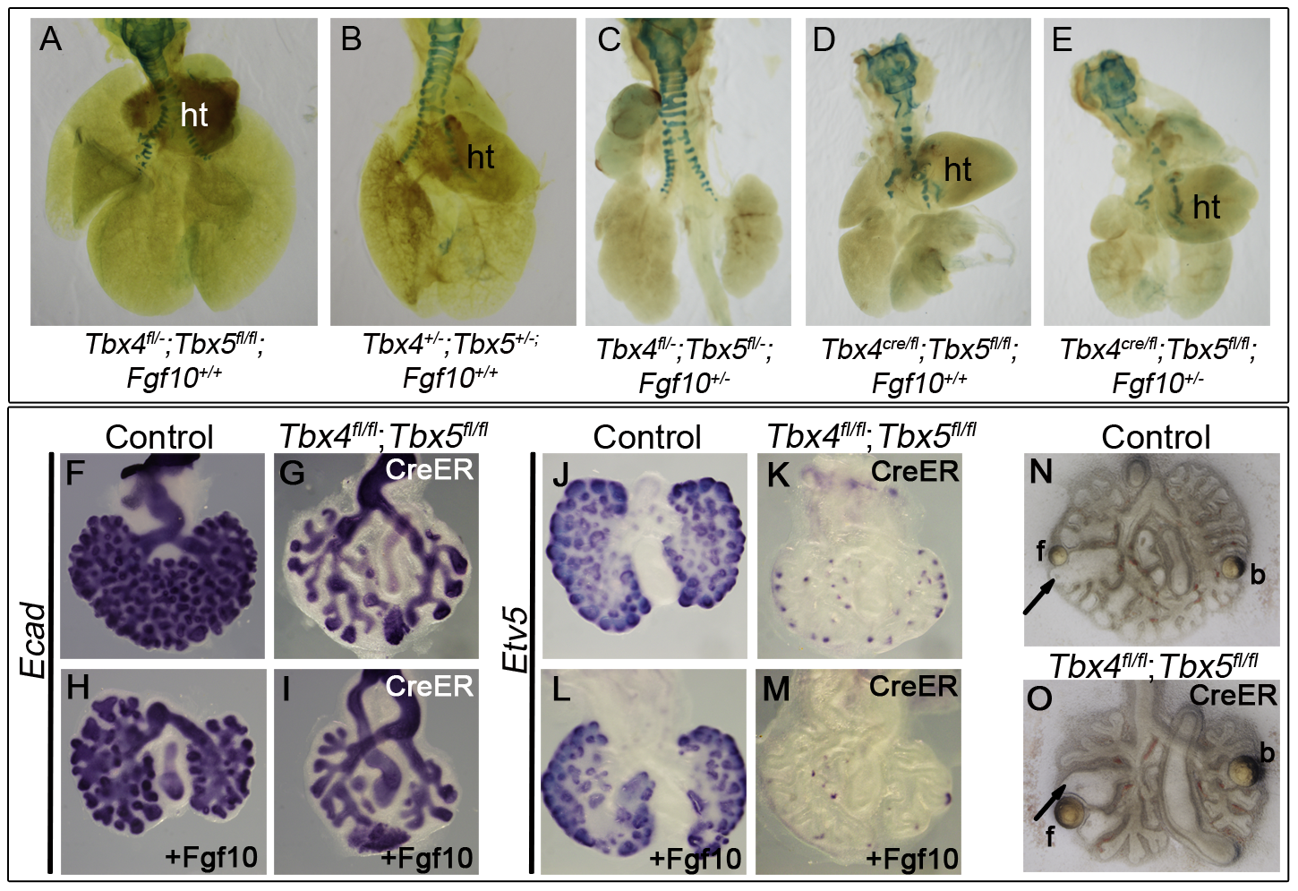 <i>Tbx4</i> and <i>Tbx5</i> interact with <i>Fgf10</i>, but FGF10 fails to rescue <i>Tbx4-</i> and <i>Tbx5</i>-deficient lungs.