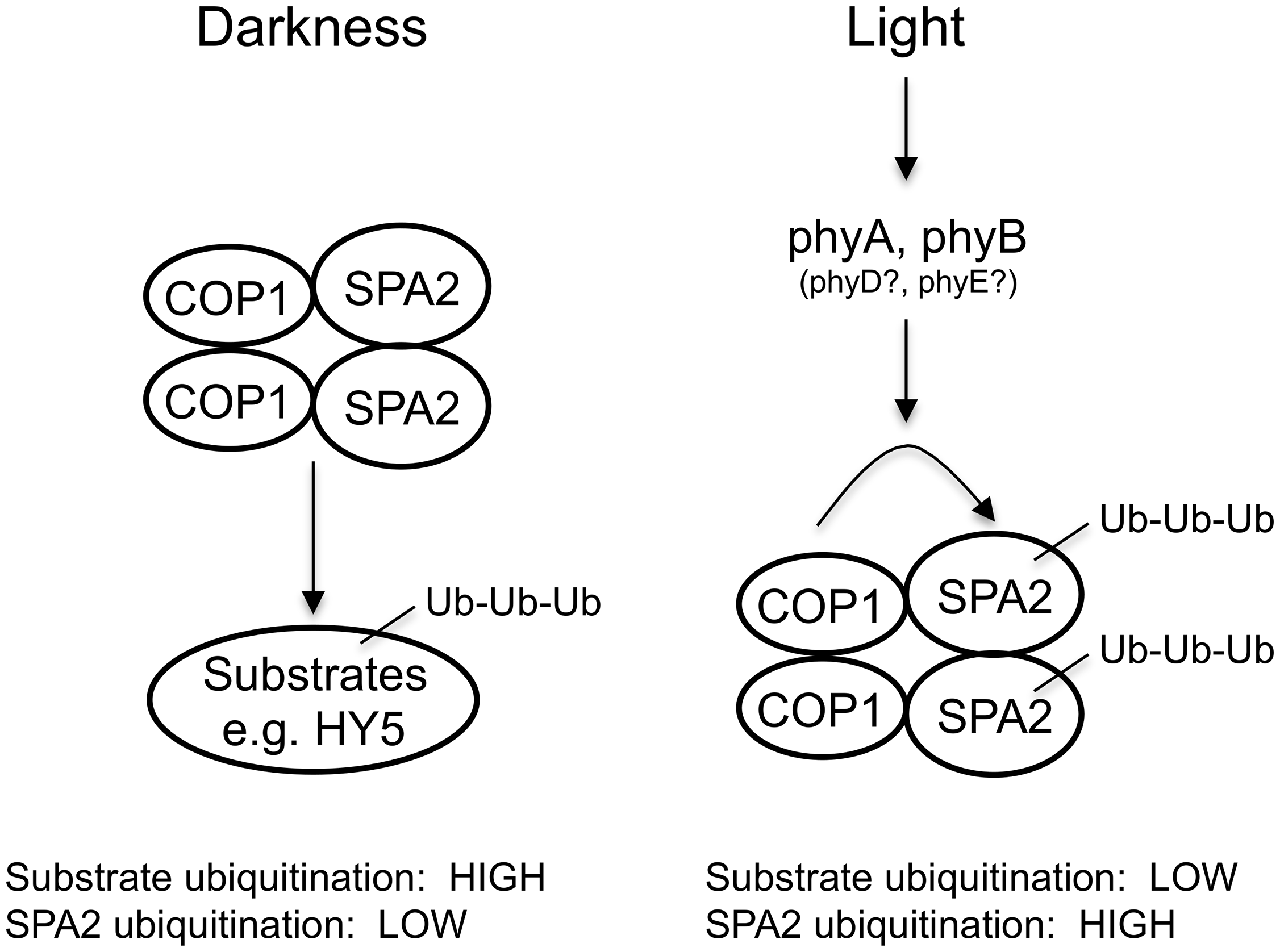 Model for the effect of light on the ubiquitination activities of the COP1/SPA2 E3 ubiquitin ligase.