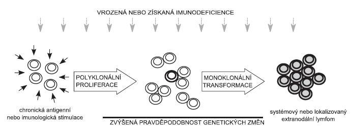 Schéma možného vývoje maligních lymfoproliferací založeného na chronické antigenní stimulaci: Chronická antigenní nebo imunologická stimulace vede ke zvýšené proliferaci velkého počtu klonů lymfocytů. Pokud dojde v jedné buňce (několika buňkách) k nahromadění mutací vedoucích k její nádorové transformaci, vzniká klon (případně několik klonů) nádorových lymfocytů, který dá vznik malignímu lymfomu. Za podmínek vrozené nebo získané imunodeficience se proces lymfomageneze výrazně zrychluje.