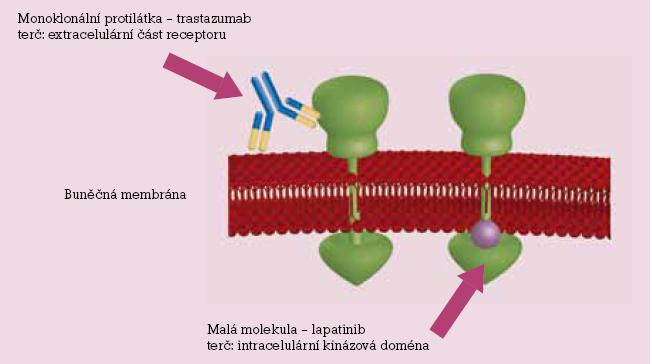 Schematické znázornění působení monoklonálních protilátek (trastuzumab, extracelulárně) a tyrosinkinázových inhibitorů (lapatinib, intracelulárně).
