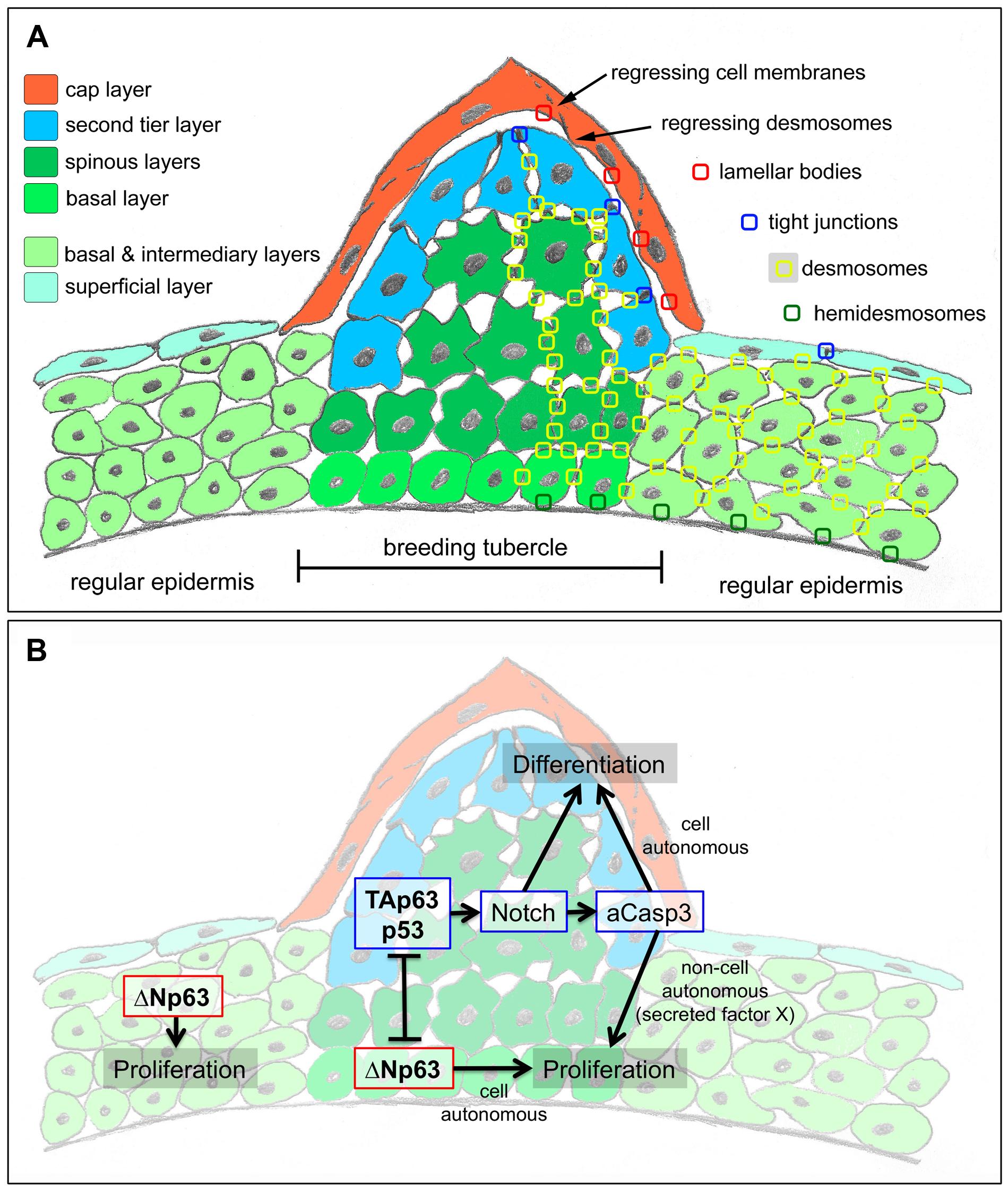 Schematics of breeding tubercle organization and regulation.