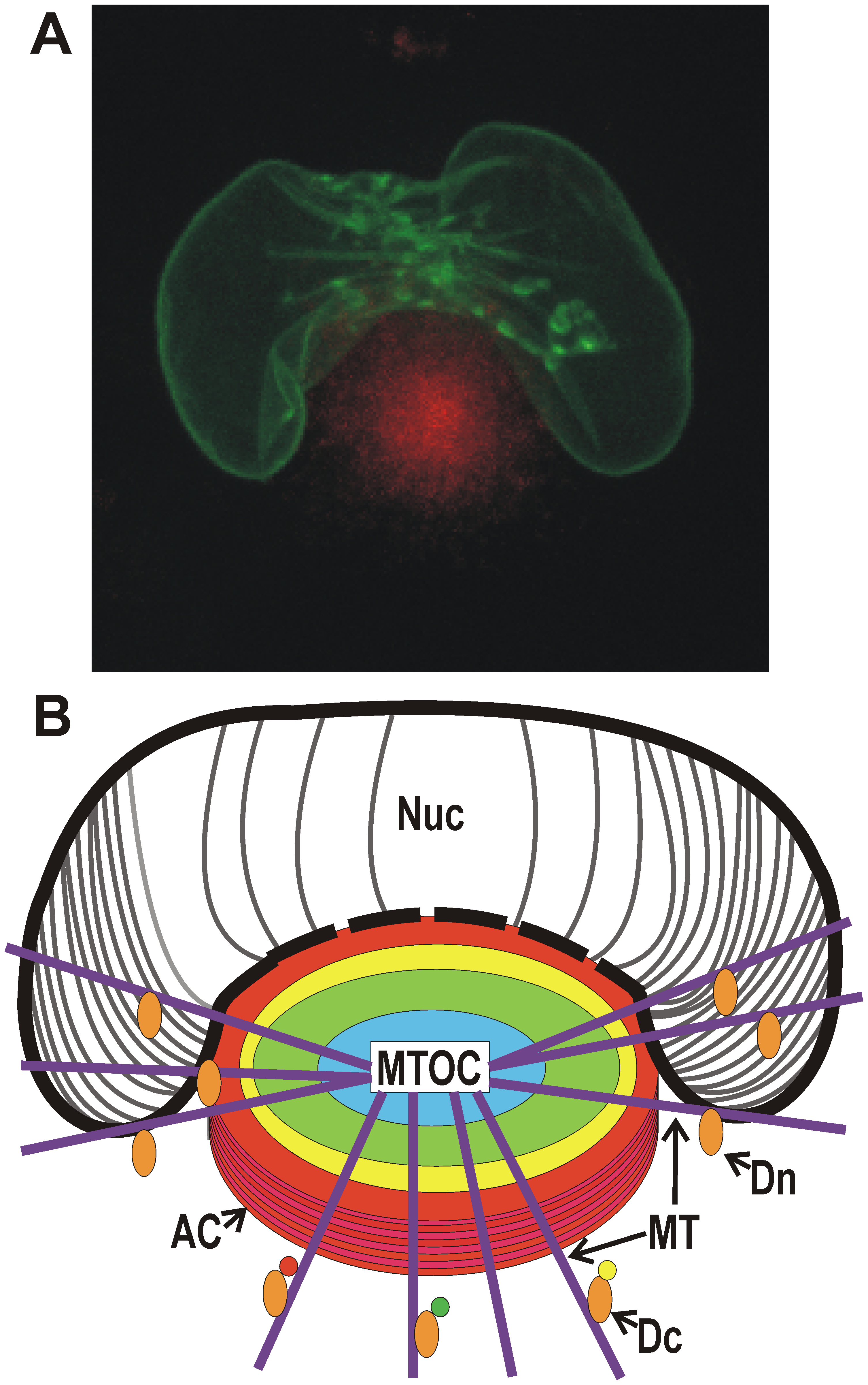 Microscopic and diagrammatic representations of the assembly compartment and nucleus in an HCMV-infected cell.