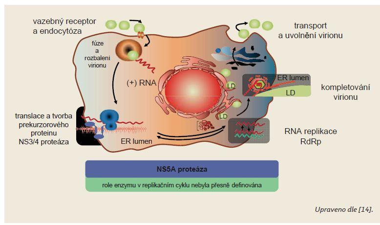 Schéma 1. Schéma replikačního cyklu viru hepatitidy C. Scheme 1. Hepatitis C virus replication cycle scheme.