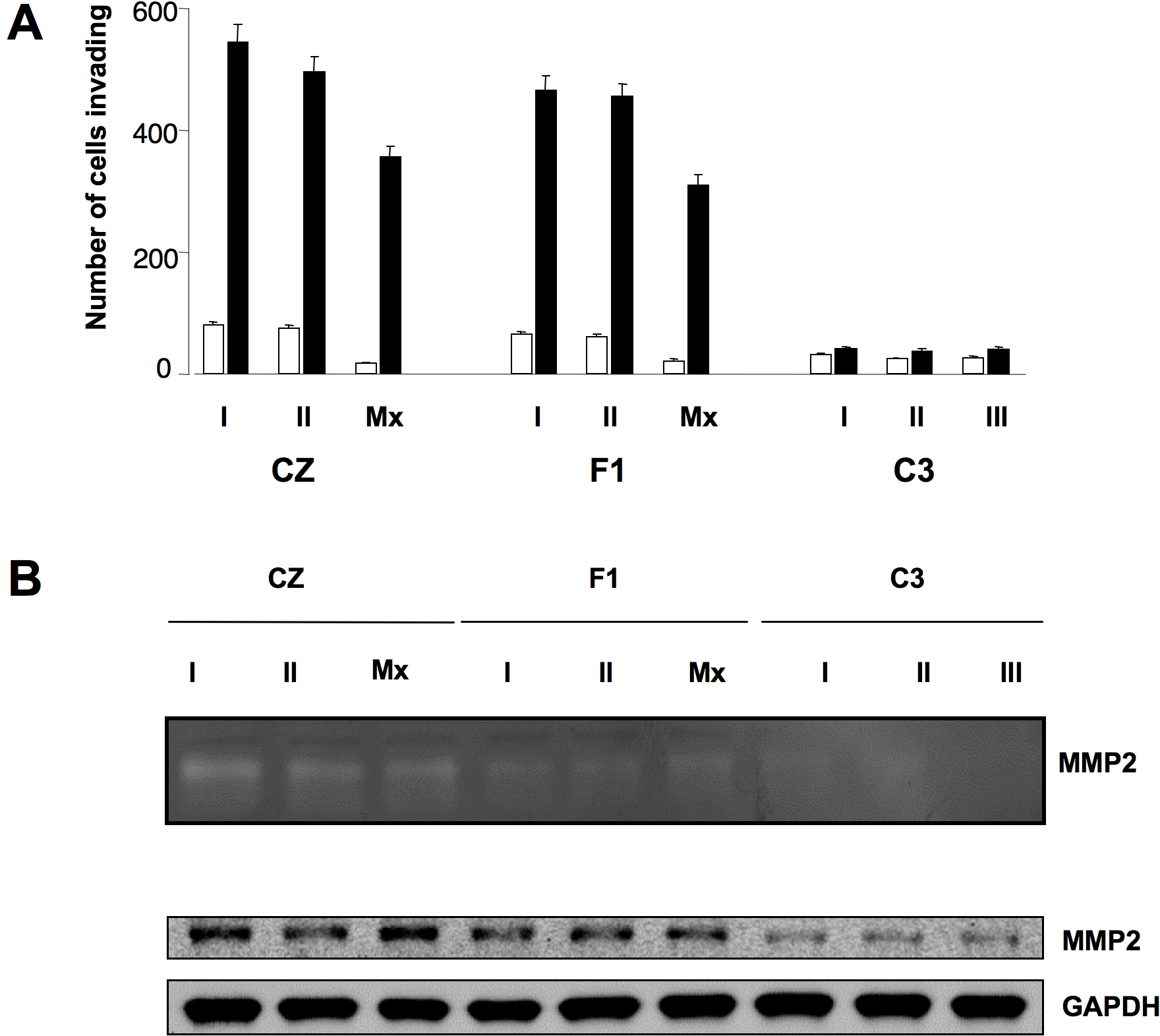 Metastatic tumor cells invade Matrigel via an MMP-2-mediated pathway.
