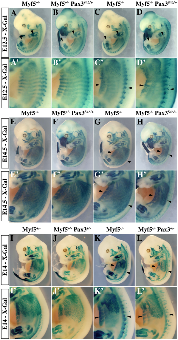 Impaired myogenesis in the presence of <i>Six4Δ</i>, in the absence of Myf5.