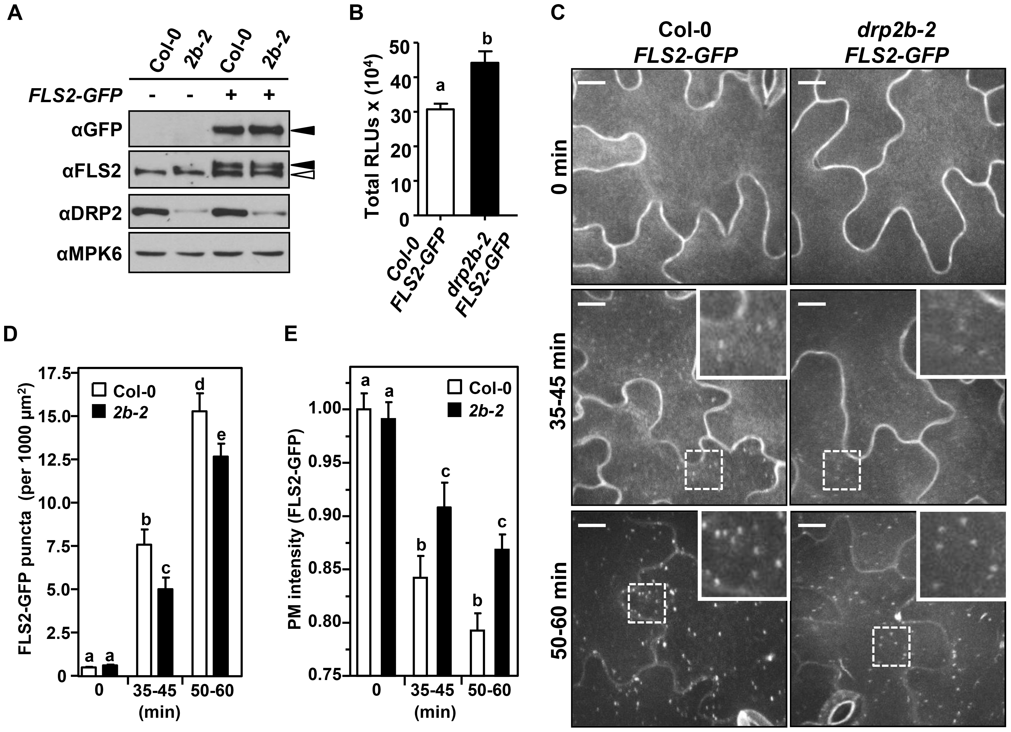 DRP2B is partially required for flg22-induced endocytosis of FLS2.