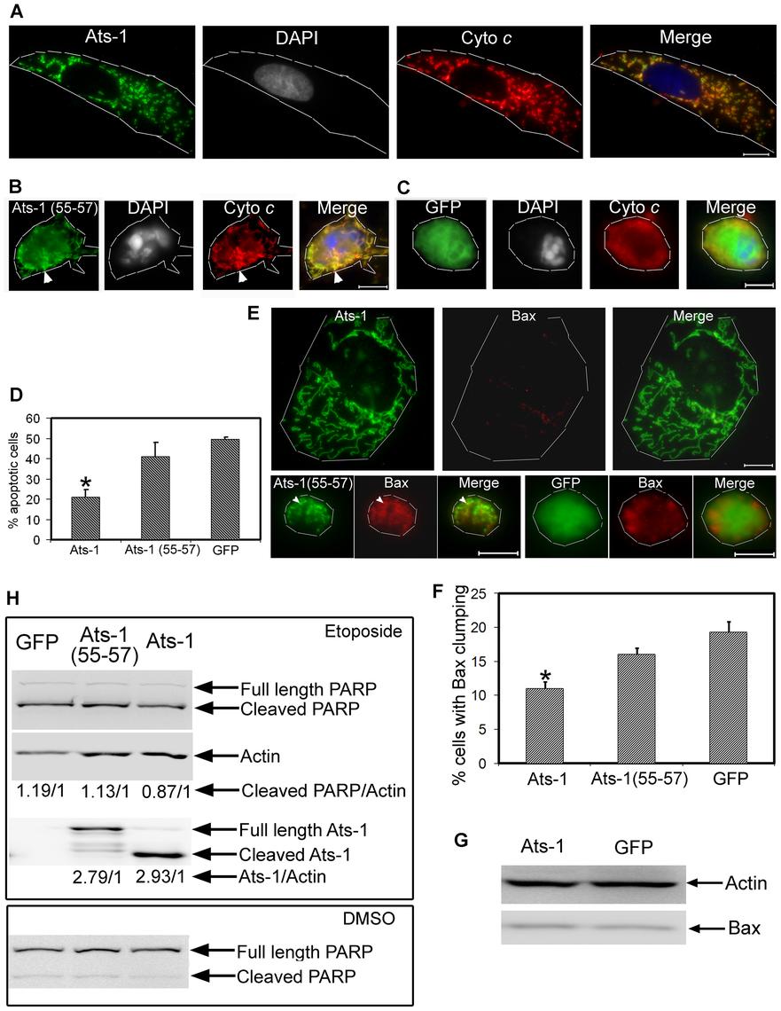 Ats-1 inhibits etoposide-induced apoptosis.