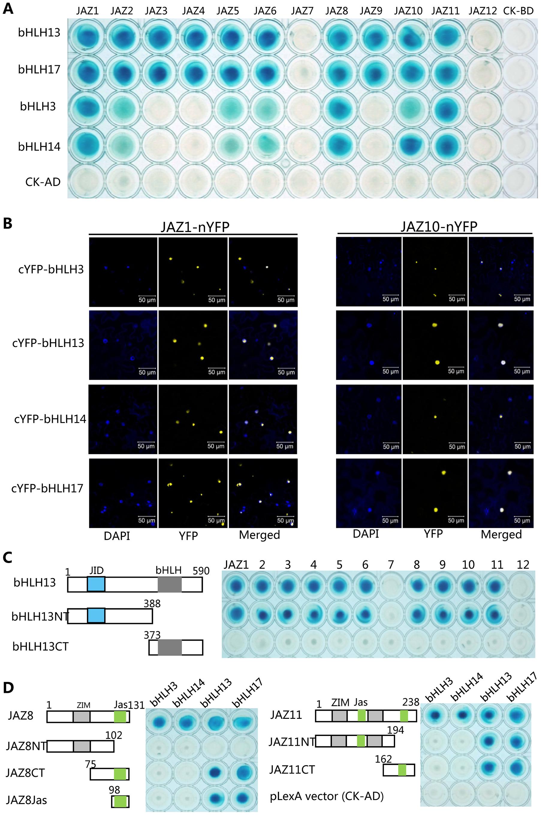 JAZ proteins interact with bHLH3, bHLH13, bHLH14 and bHLH17.