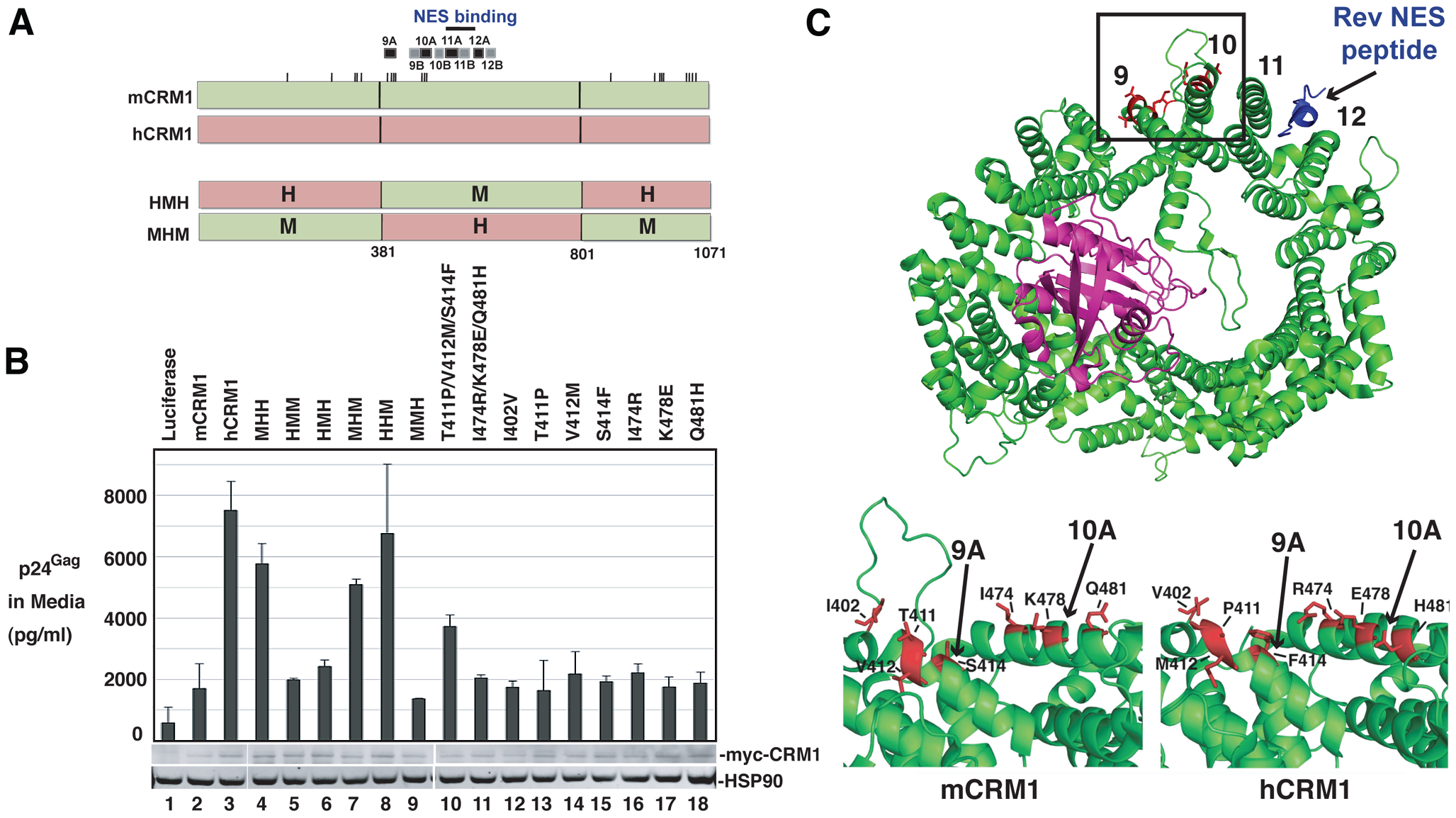 A species-specific determinant within hCRM1 is necessary for efficient HIV-1 virus production.