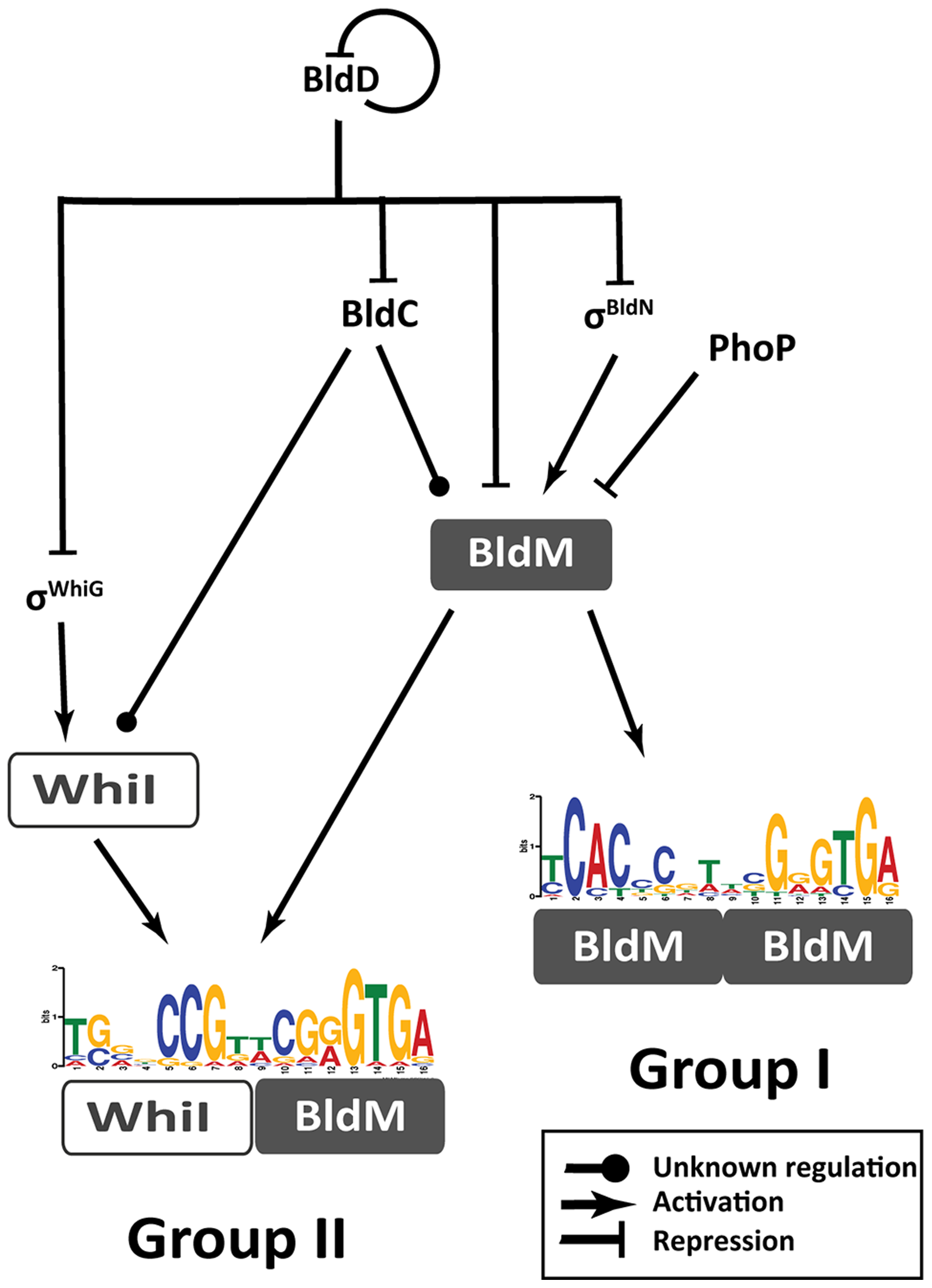 Schematic representation summarizing the regulatory network involved in controlling BldM and WhiI expression and the activation of Group-I and Group-II genes.