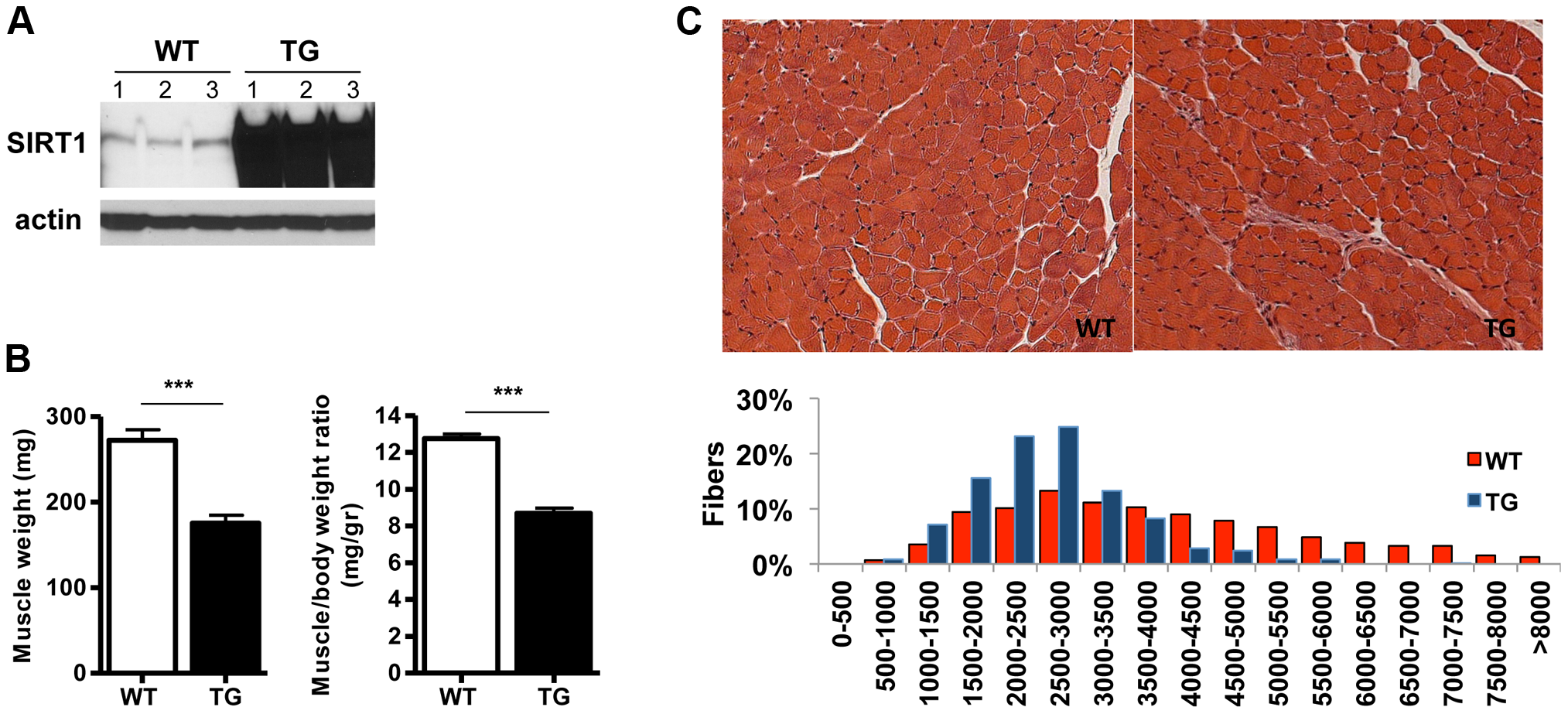 SIRT1 overexpression in skeletal muscle.