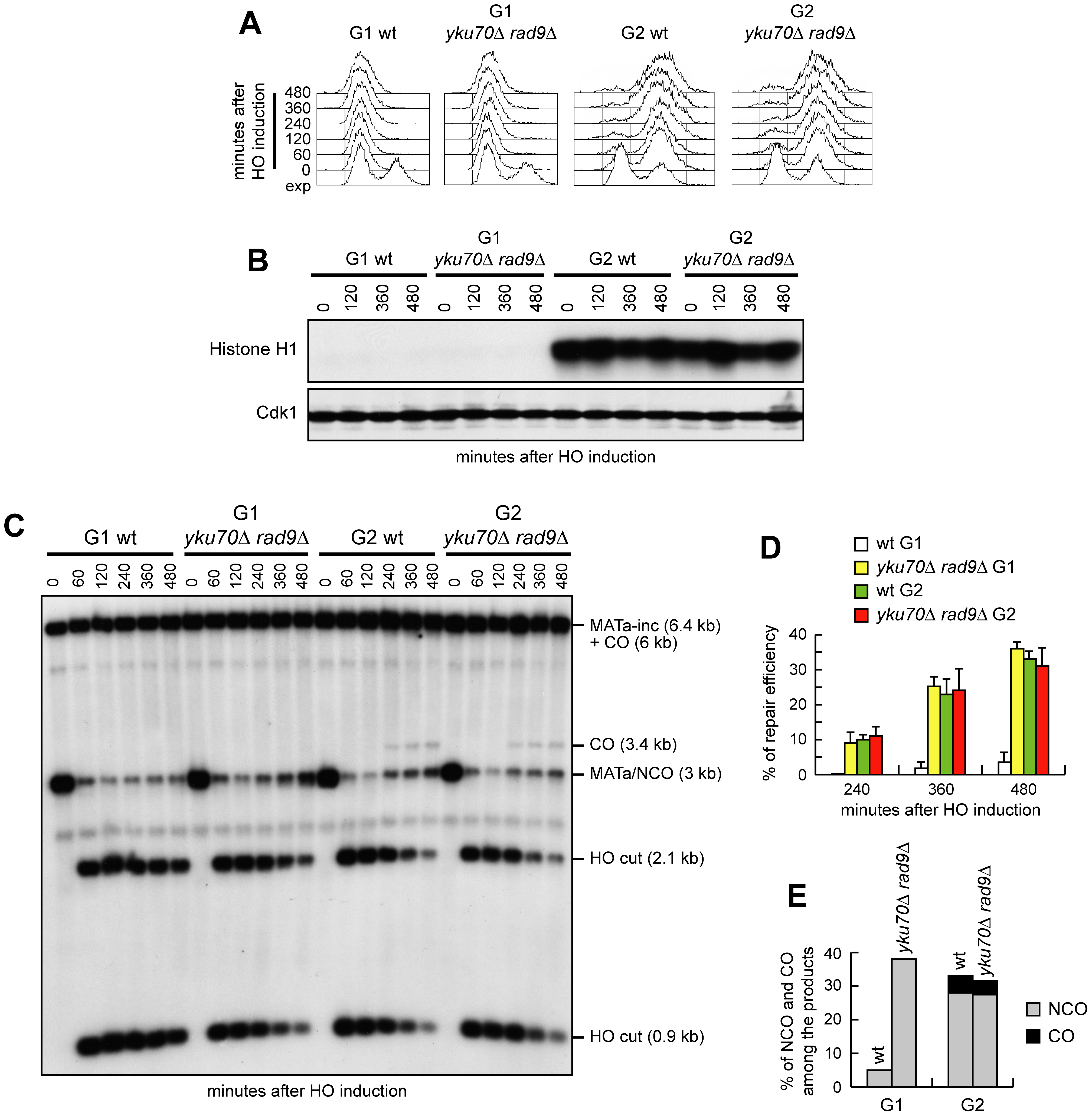 Generation of ssDNA does not bypass Cdk1 requirement for crossover recombination.