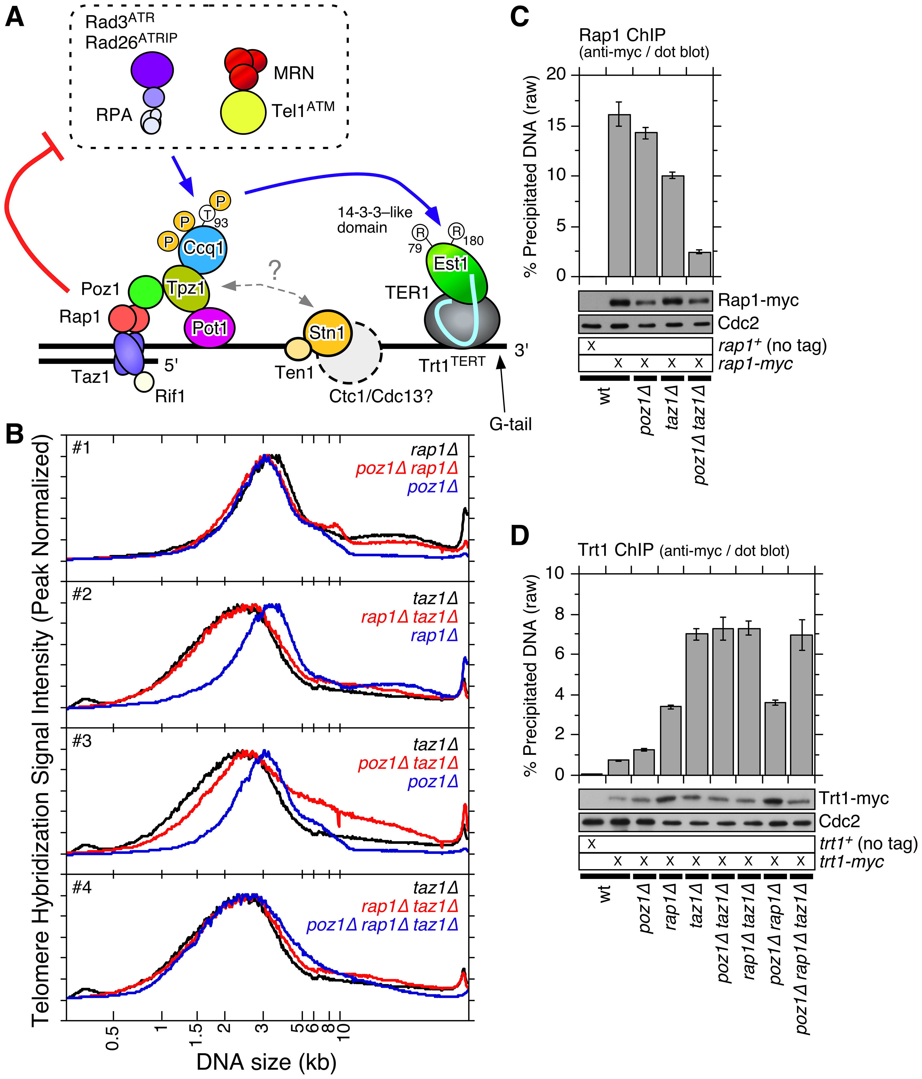 Epistasis analysis of <i>poz1Δ</i>, <i>rap1Δ</i>, and <i>taz1Δ</i> cells.